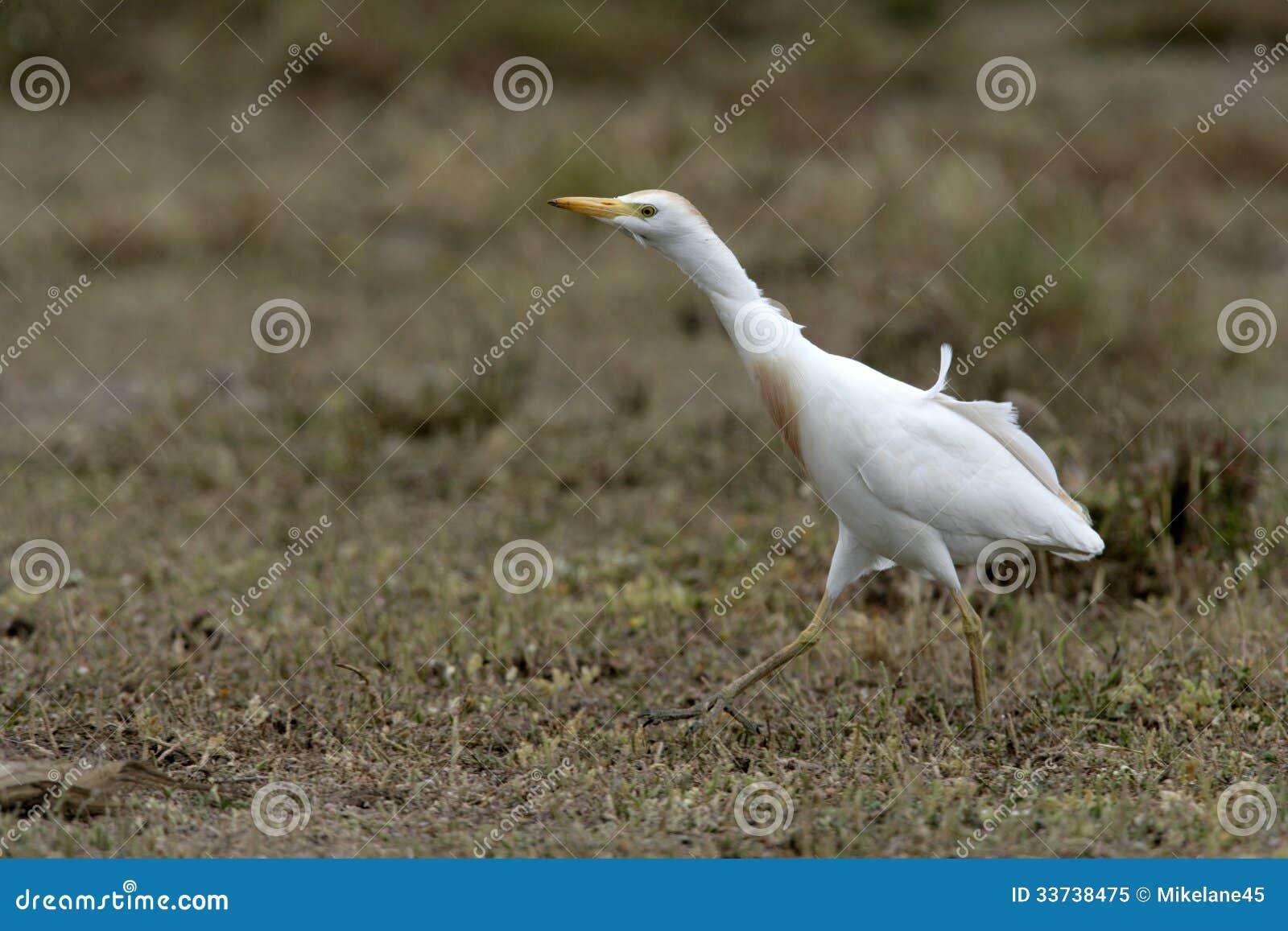 Bydła egret, Bubulcus ibis