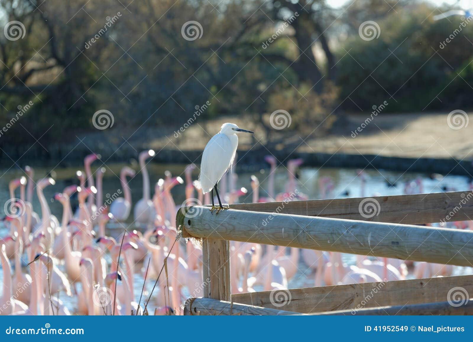 Bydła egret i wielcy flamingi