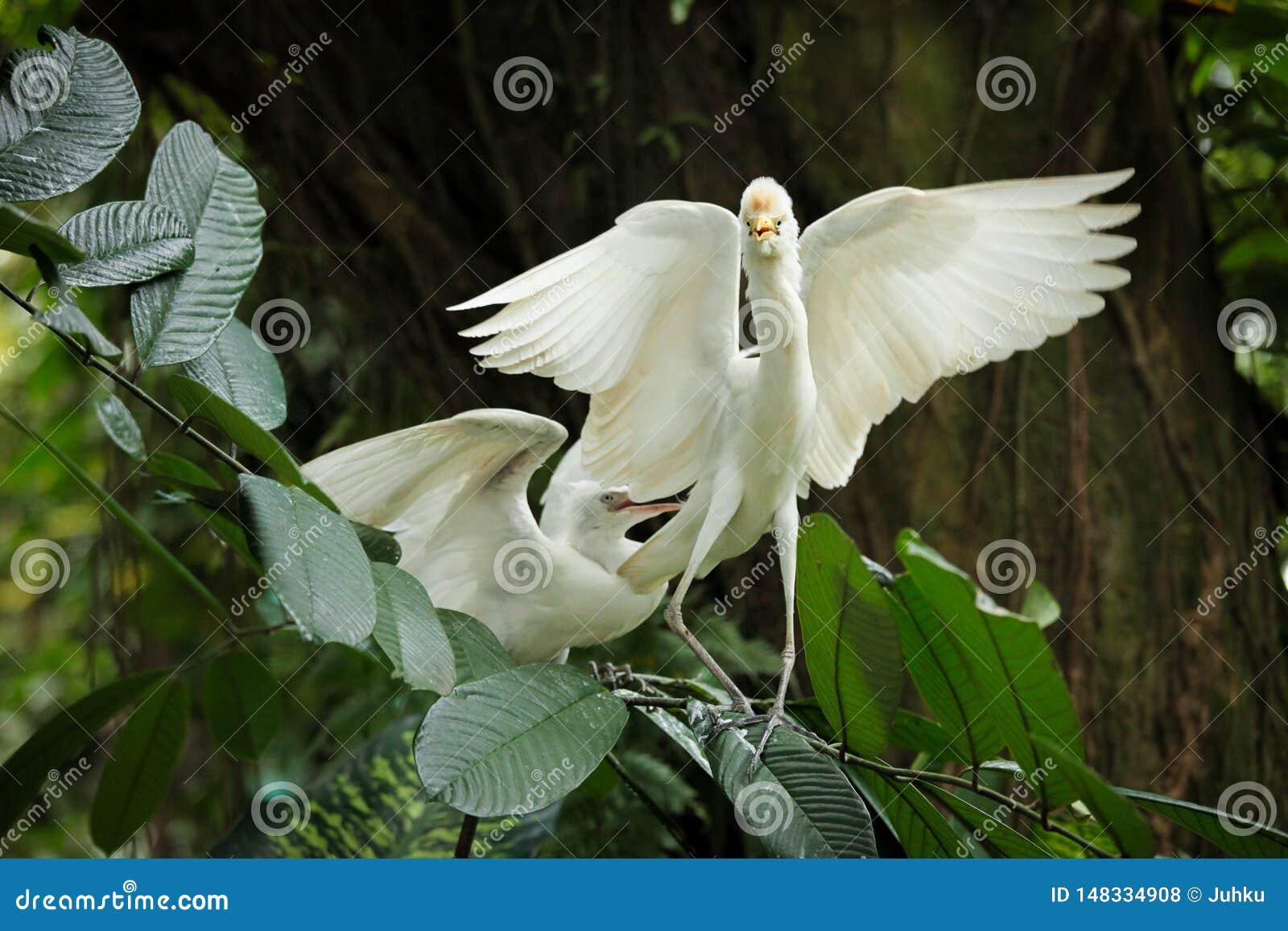 Bydła egret koperczaki pokaz