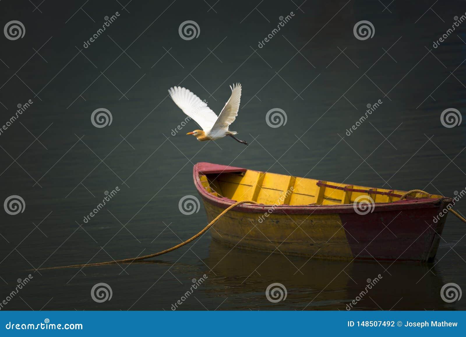 Bydła Egret Ptasi latanie Nad jeziorem, A drewniany Łódkowaty parking przy jeziorem