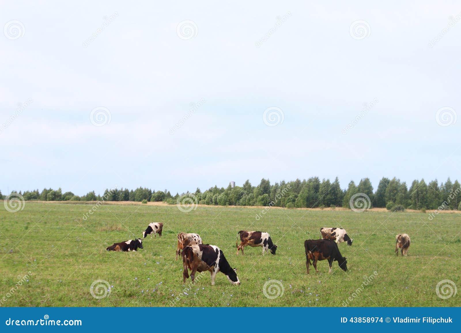 Bydła pasanie w jardzie gospodarstwo rolne