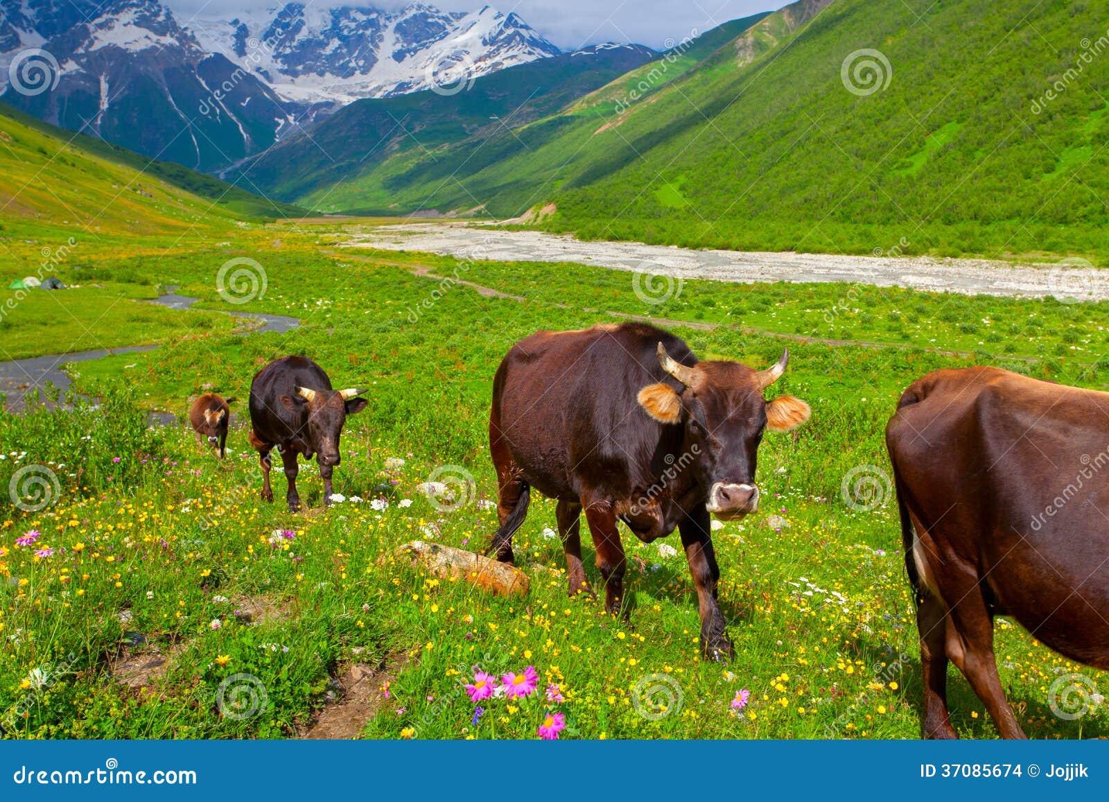 Download Bydło na halnym paśniku. zdjęcie stock. Obraz złożonej z rolnictwo - 37085674