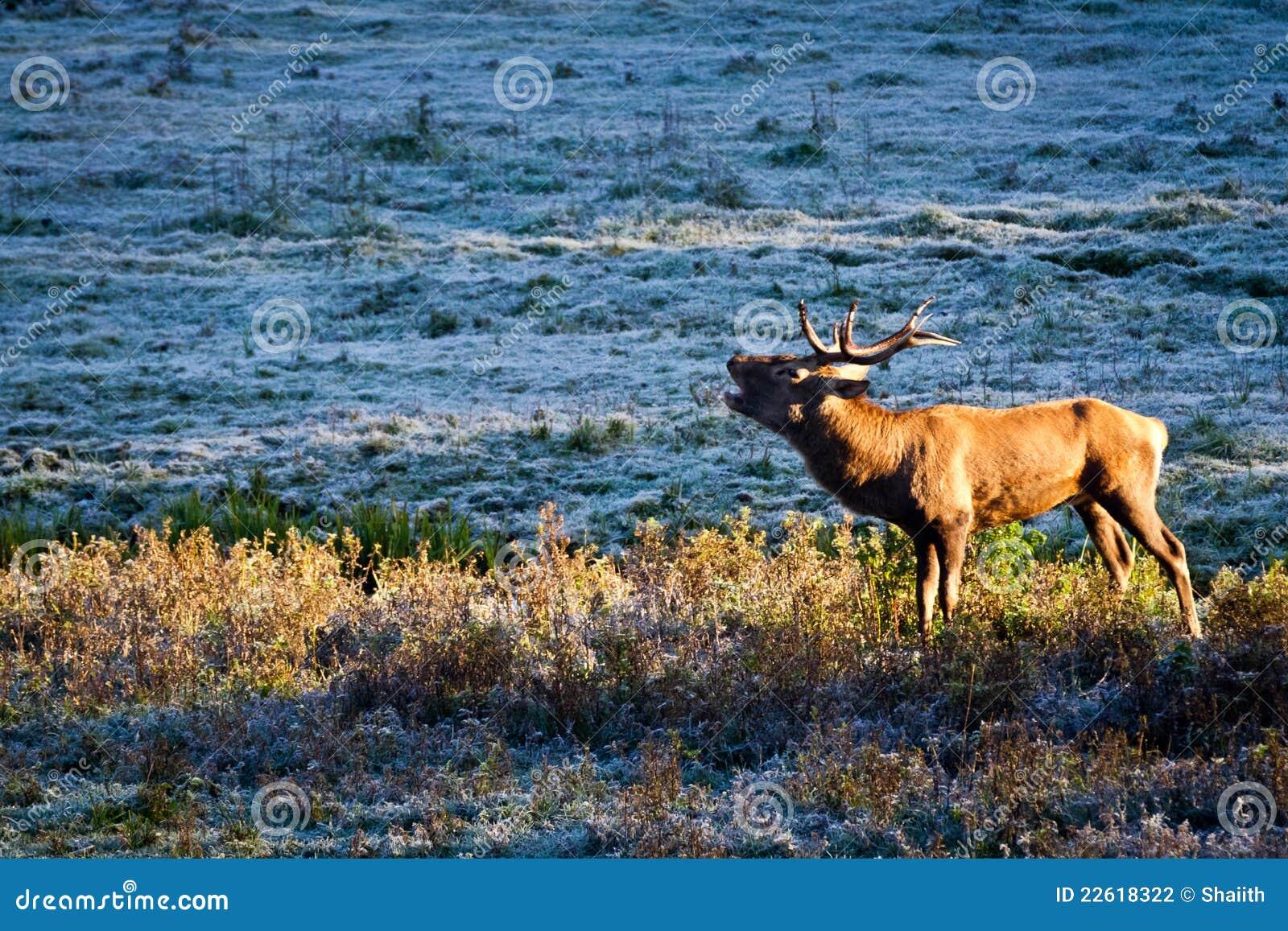 Byk marznący majestatyczny łąkowy huczenie