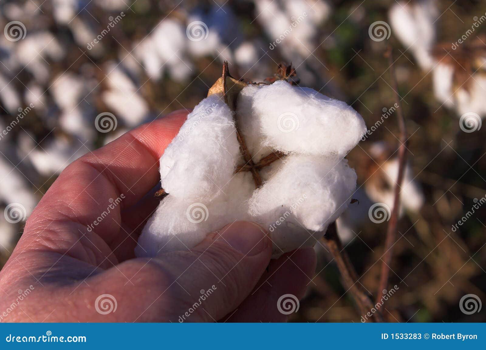 Cápsula del algodón