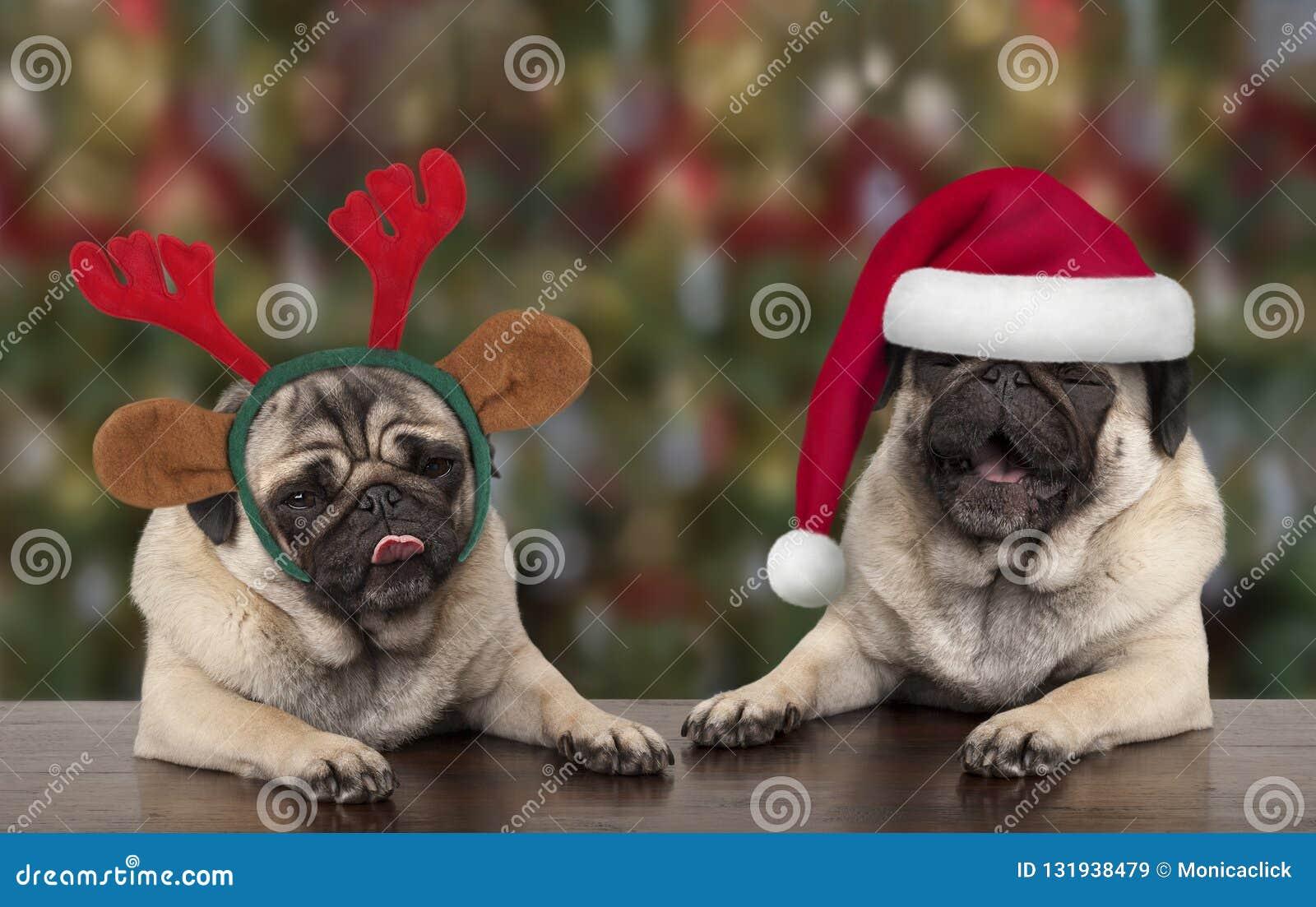 Cães de cachorrinho bonitos engraçados do pug do Natal que inclinam-se na tabela de madeira, no chapéu vestindo de Papai Noel e n