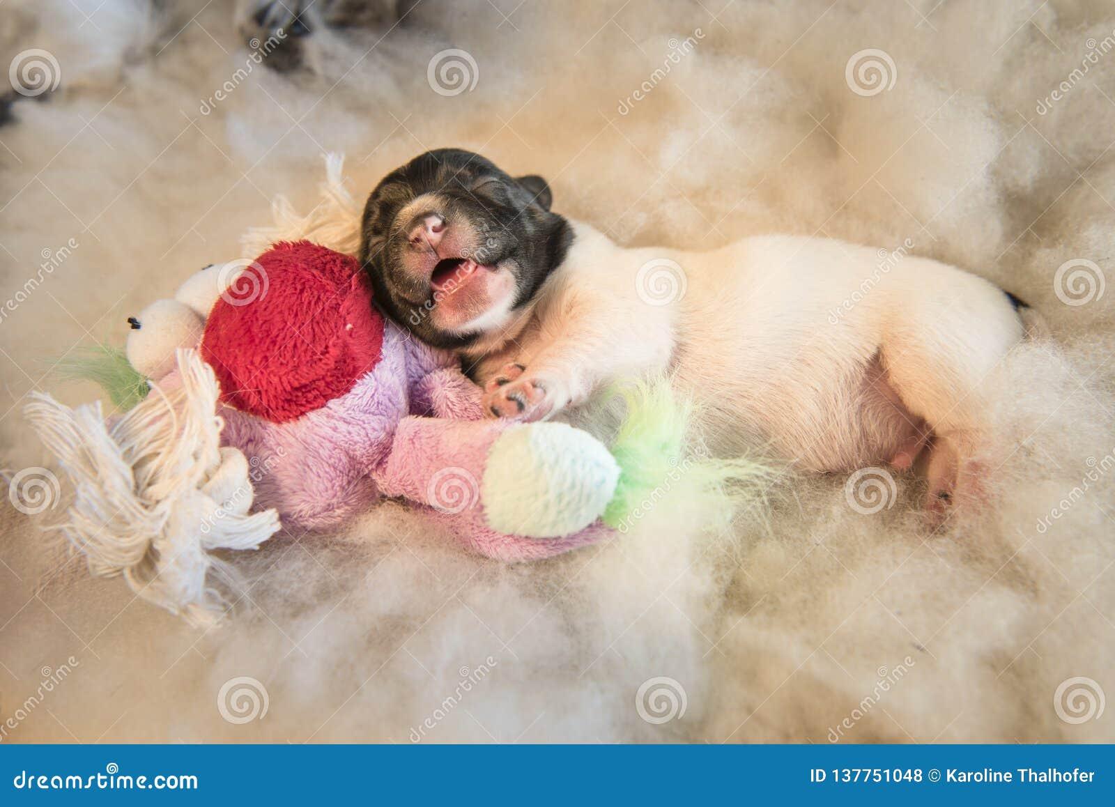 Cães de cachorrinho recém-nascidos com brinquedo - o jaque velho Russell Terrier de três dias canino está encontrando-se em um fu