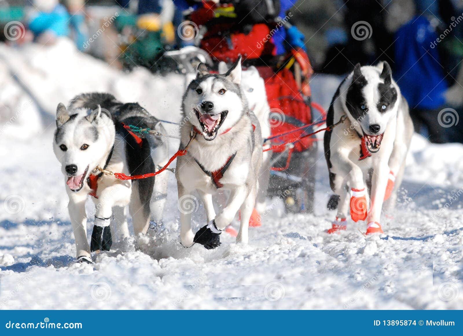 Cães de trenó da ligação