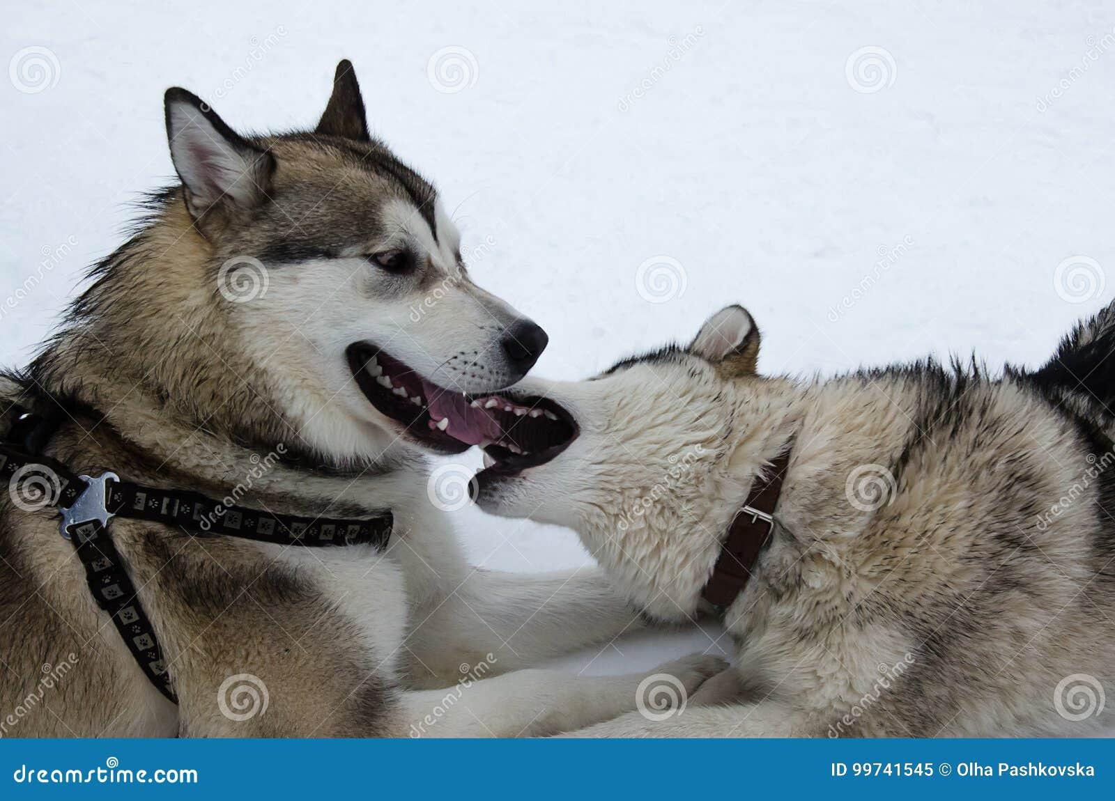 Cães do malamute do Alasca