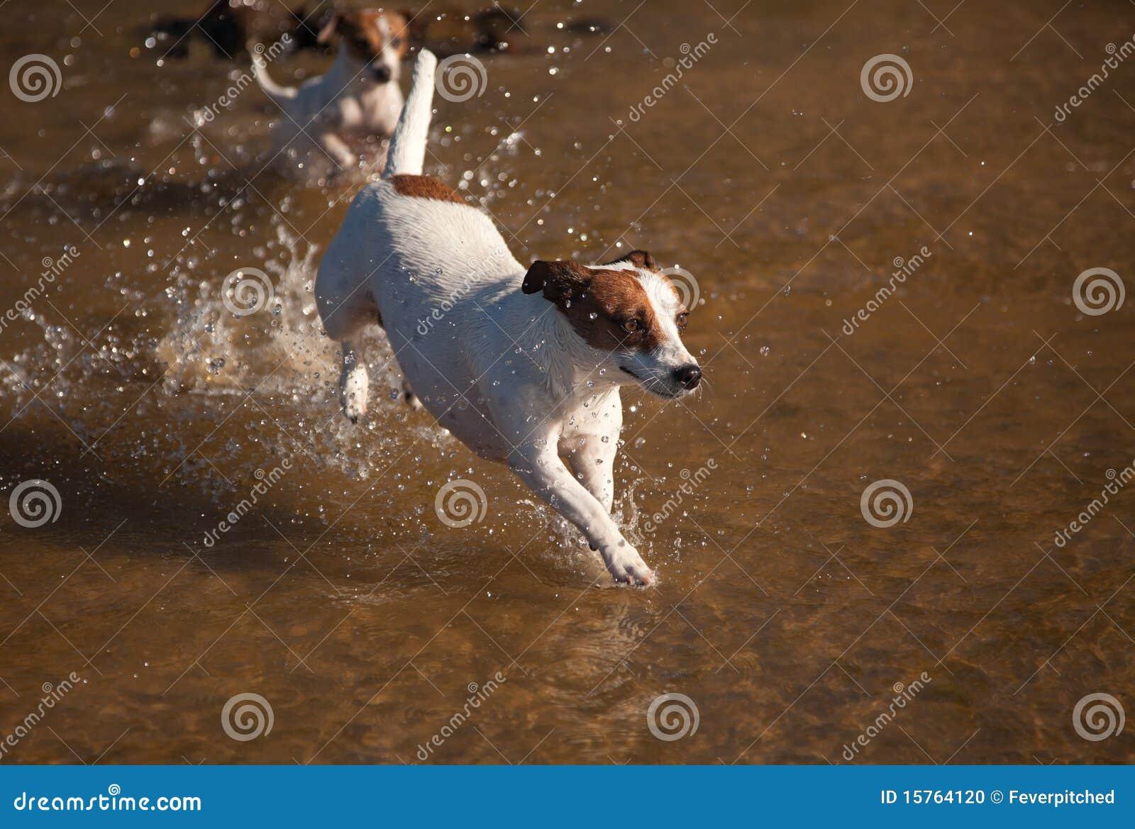Cães do terrier de Jack Russell que jogam na água