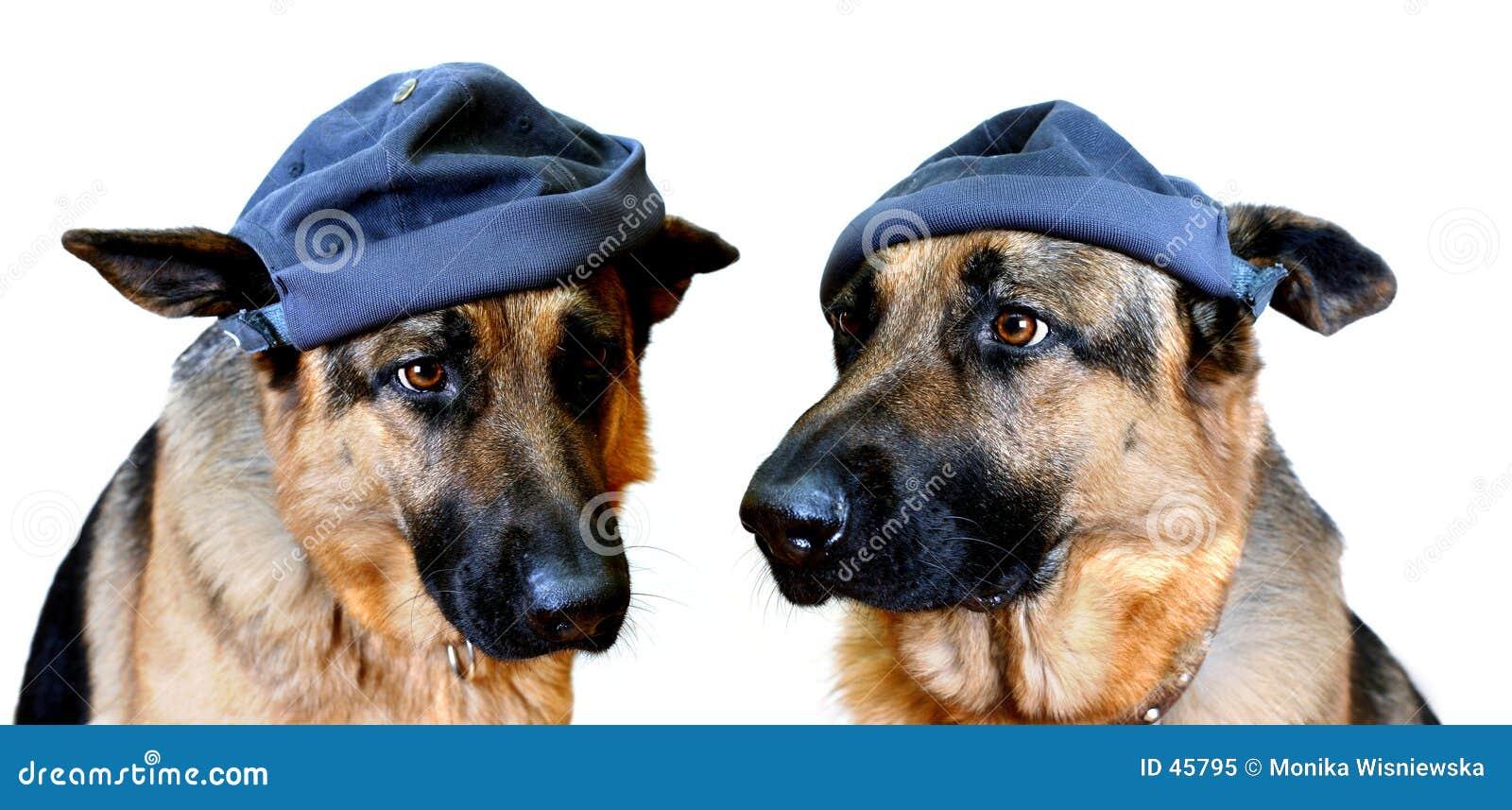 Cães nos tampões