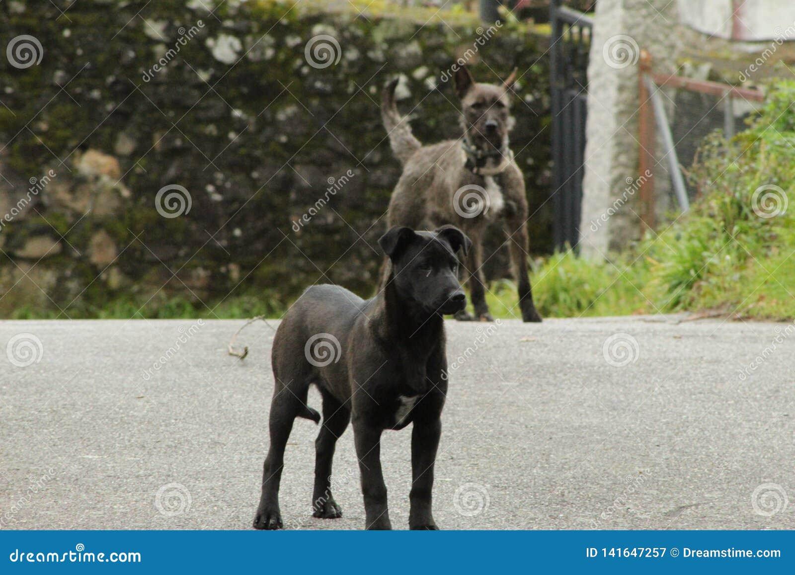 Cães pretos e cinzentos bonitos