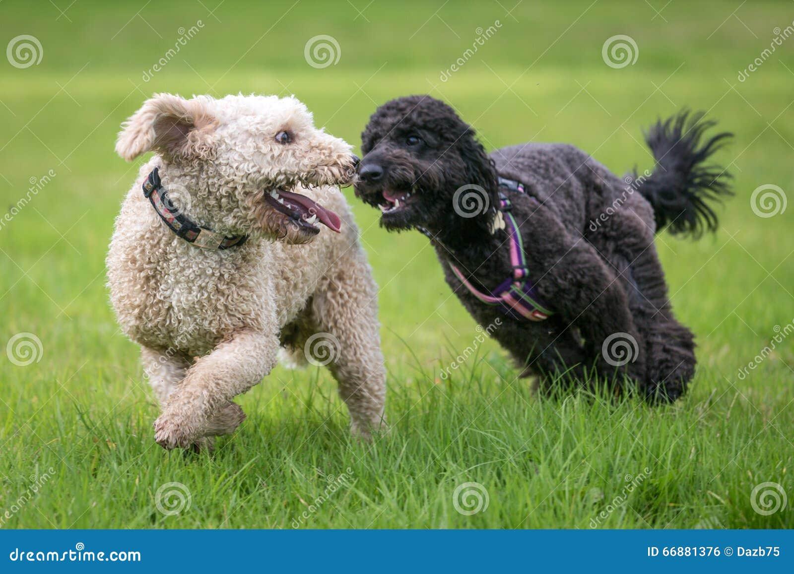 Cães que correm e que jogam
