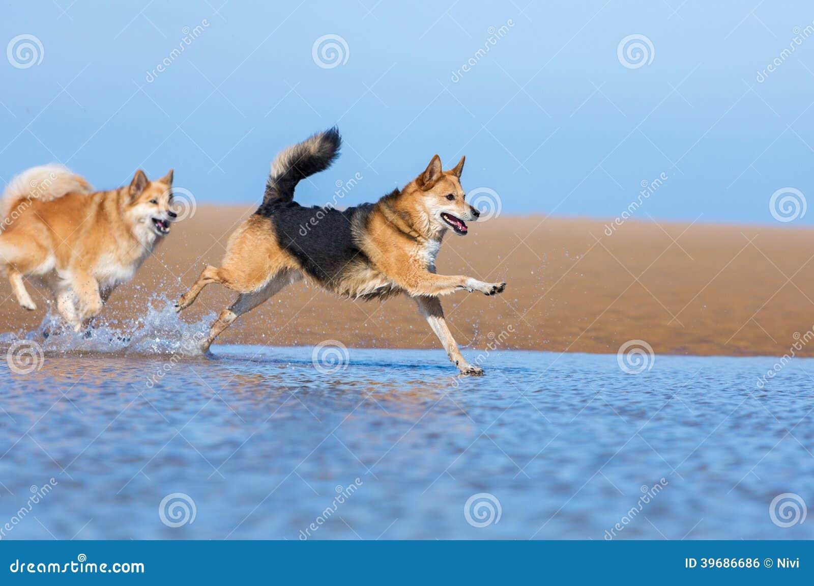 Cães que correm na praia