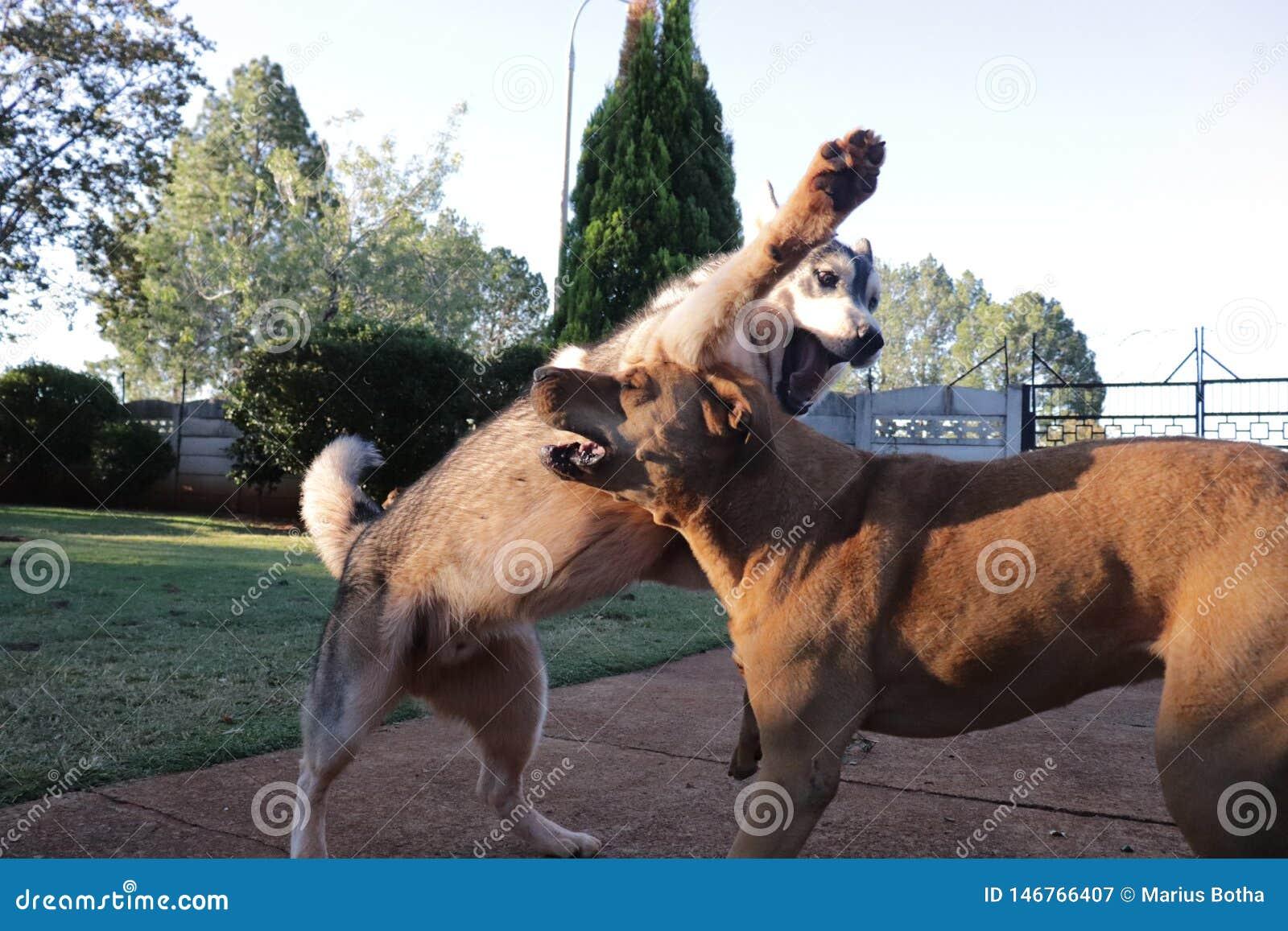 Cães que jogam um com o otro Husky Vs Rhodesian Ridgeback