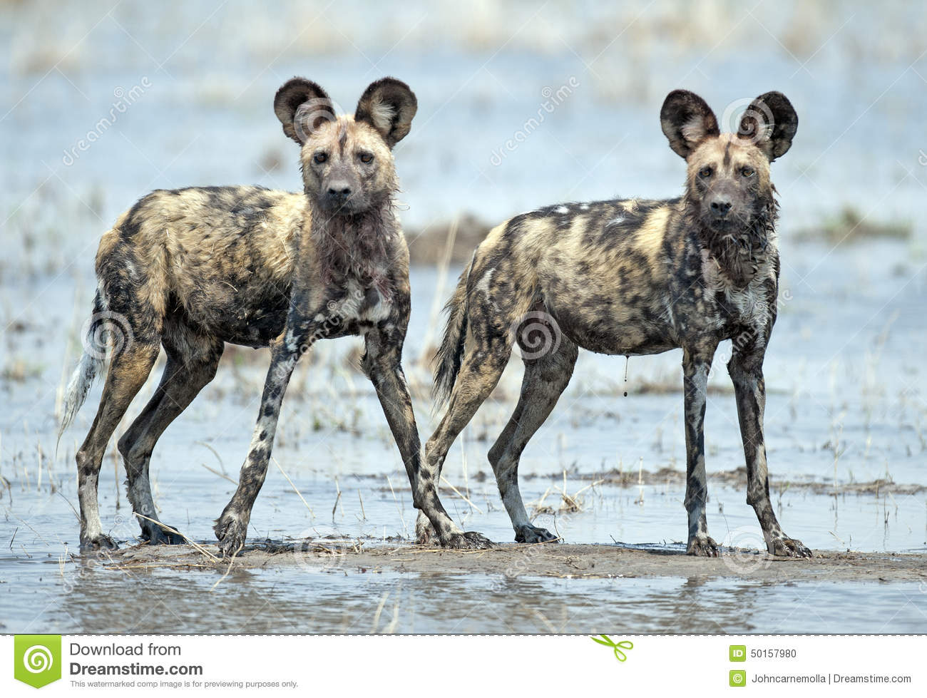 Cães selvagens africanos