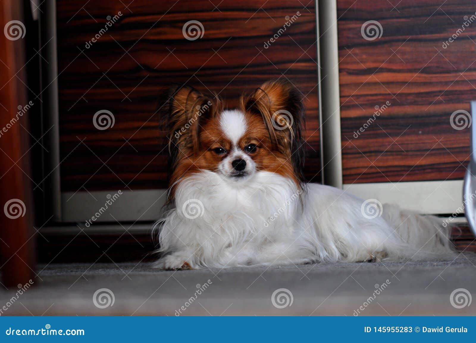 Cão adulto do papillon que coloca no tapete dentro
