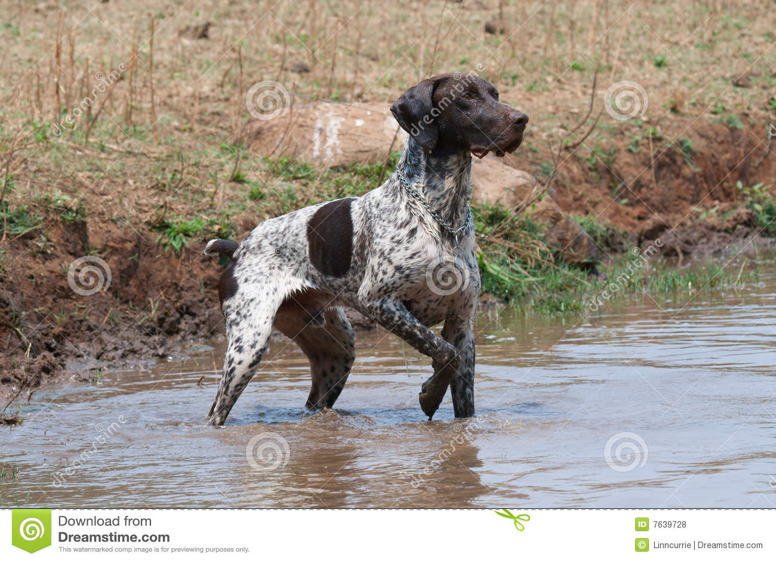 Cão alemão do ponteiro de cabelos curtos