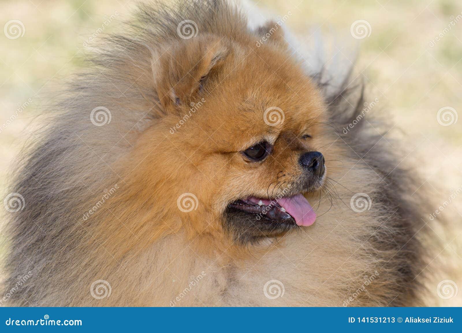 Cão amarelo Pomeranian, cabeça em um lado, close-up