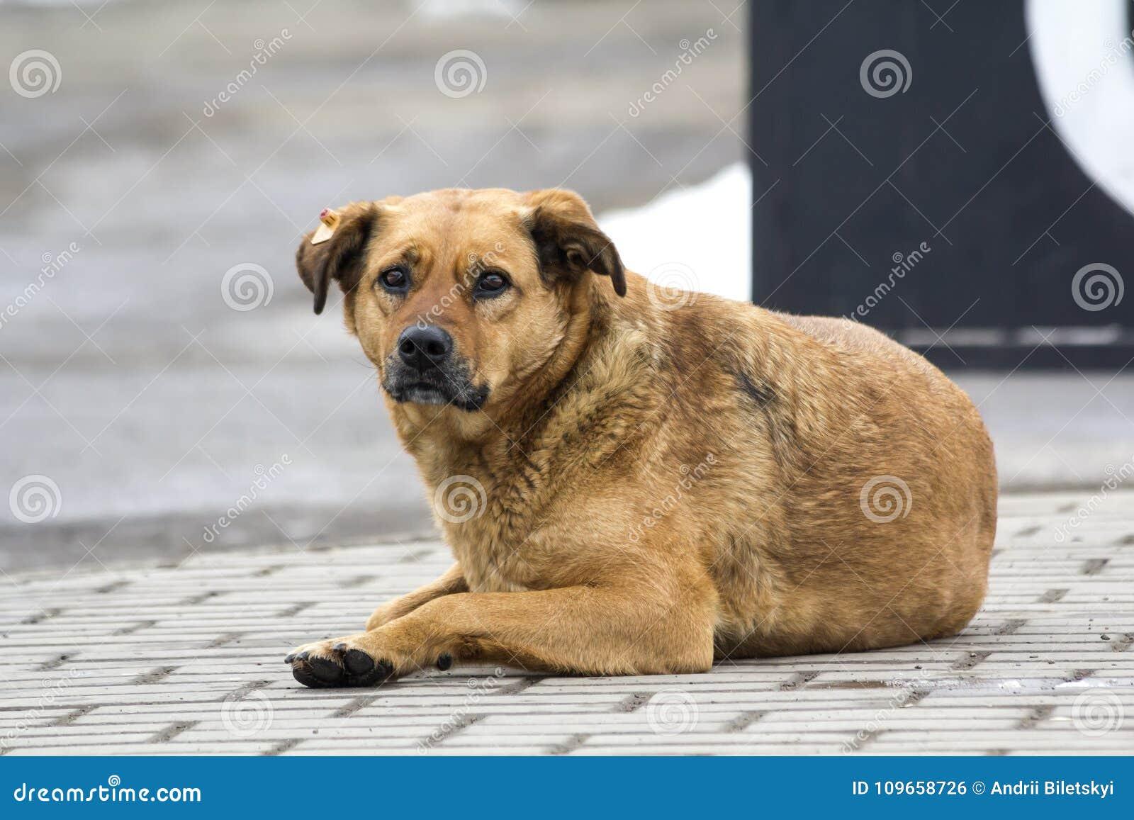 Cão amarelo triste na expectativa do proprietário Retrato de um animal de estimação na terra