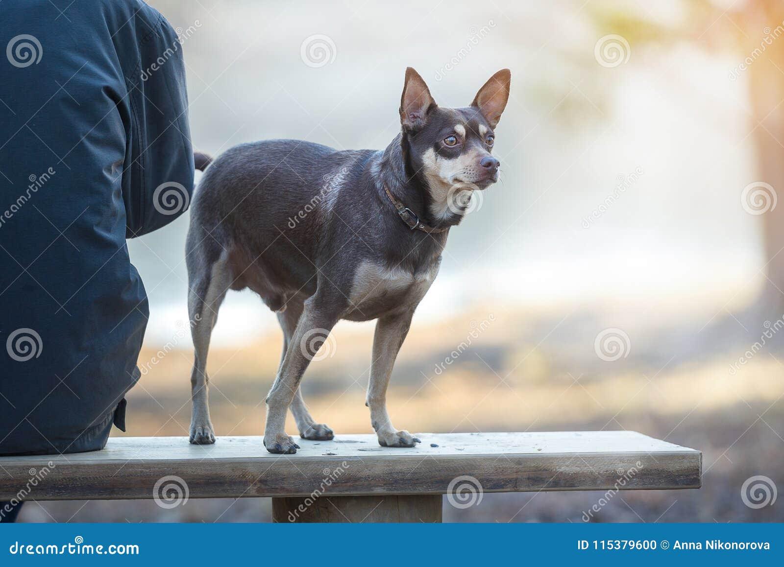 Cão ao andar em uma trela no parque