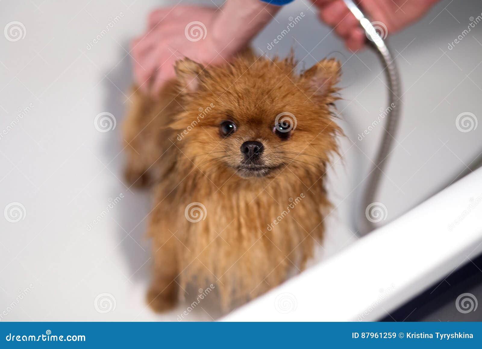 Cão bem preparado grooming Preparação de um cão pomeranian Pomeranian engraçado no banho Cão que toma um chuveiro Cão no backgrou