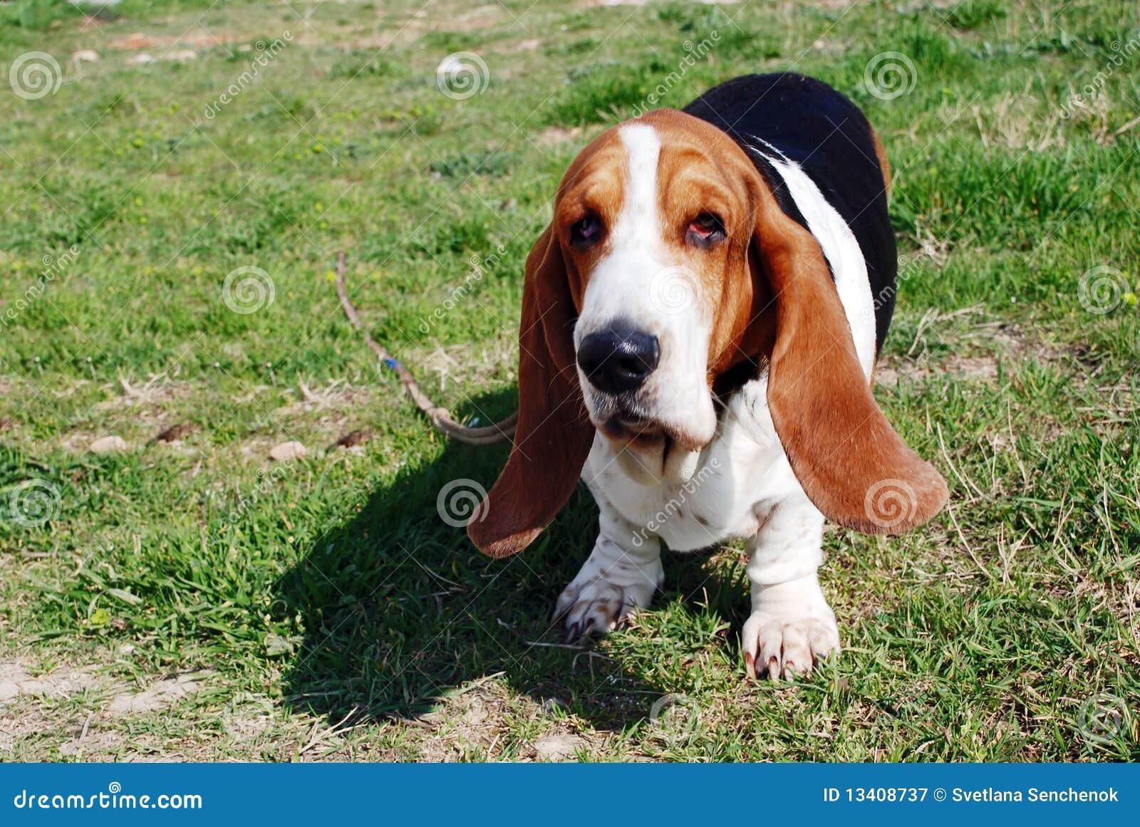 Cão bonito