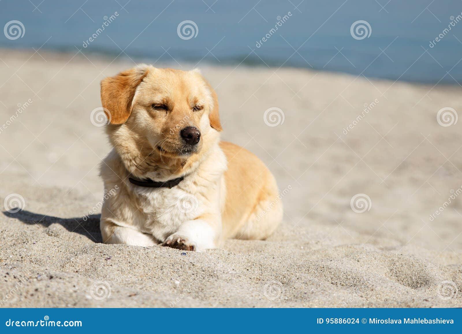Cão bonito da raça da mistura que encontra-se na praia com os olhos fechados do prazer do sol e do tempo morno Copie o espaço