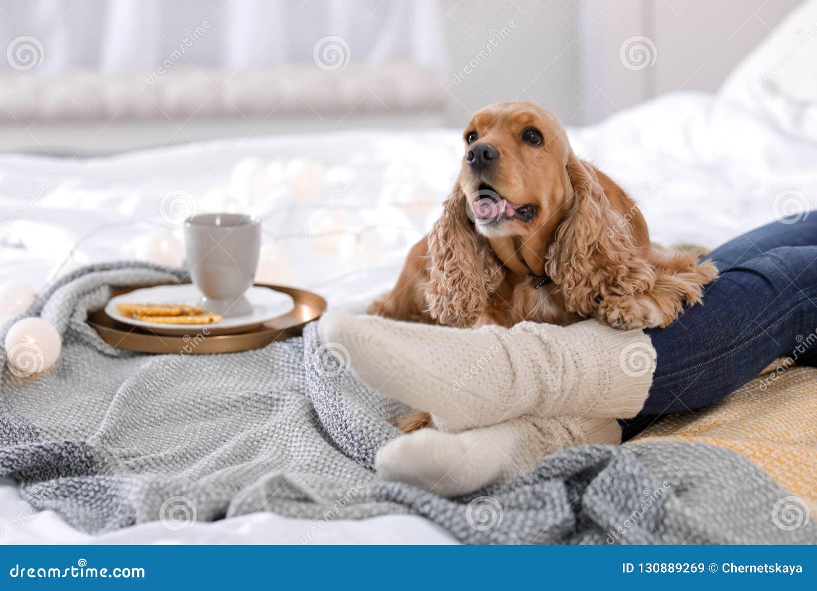 Cão bonito de Cocker Spaniel com a cobertura morna que encontra-se perto do proprietário na cama em casa