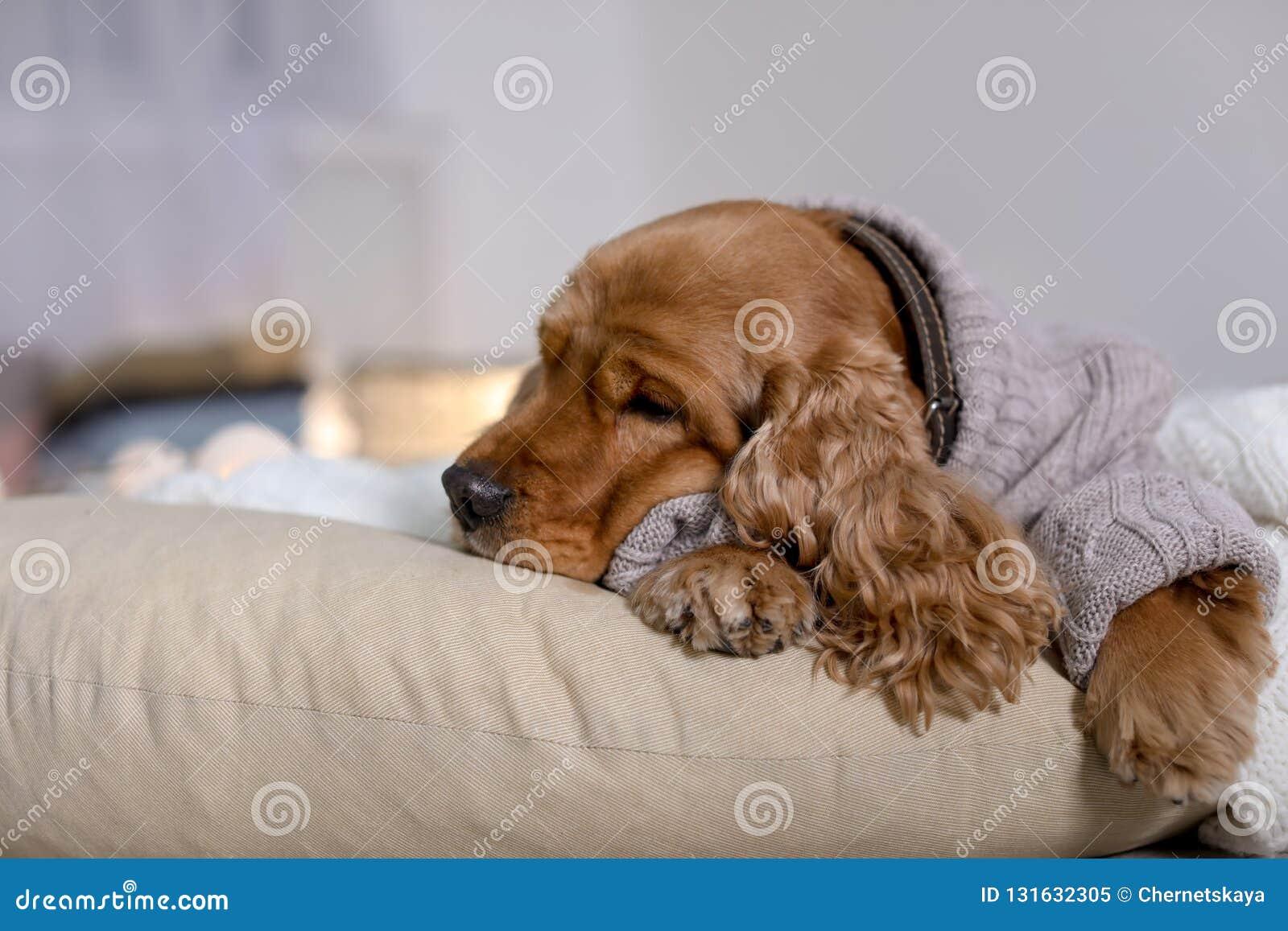 Cão bonito de Cocker Spaniel na camiseta feita malha que encontra-se no descanso em casa