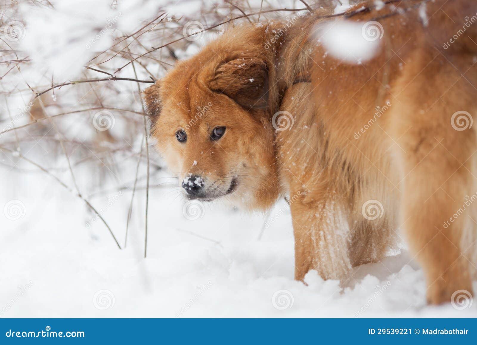 Cão bonito de Elo na neve
