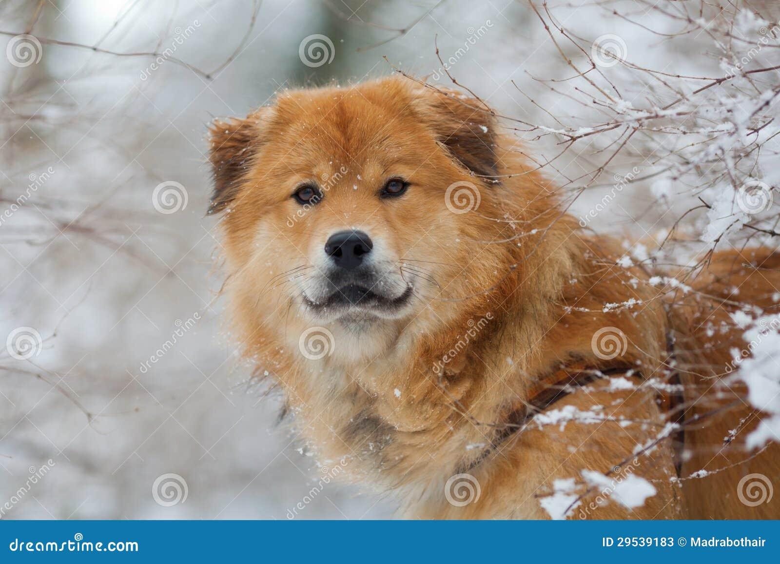 Cão bonito de Elo na paisagem invernal