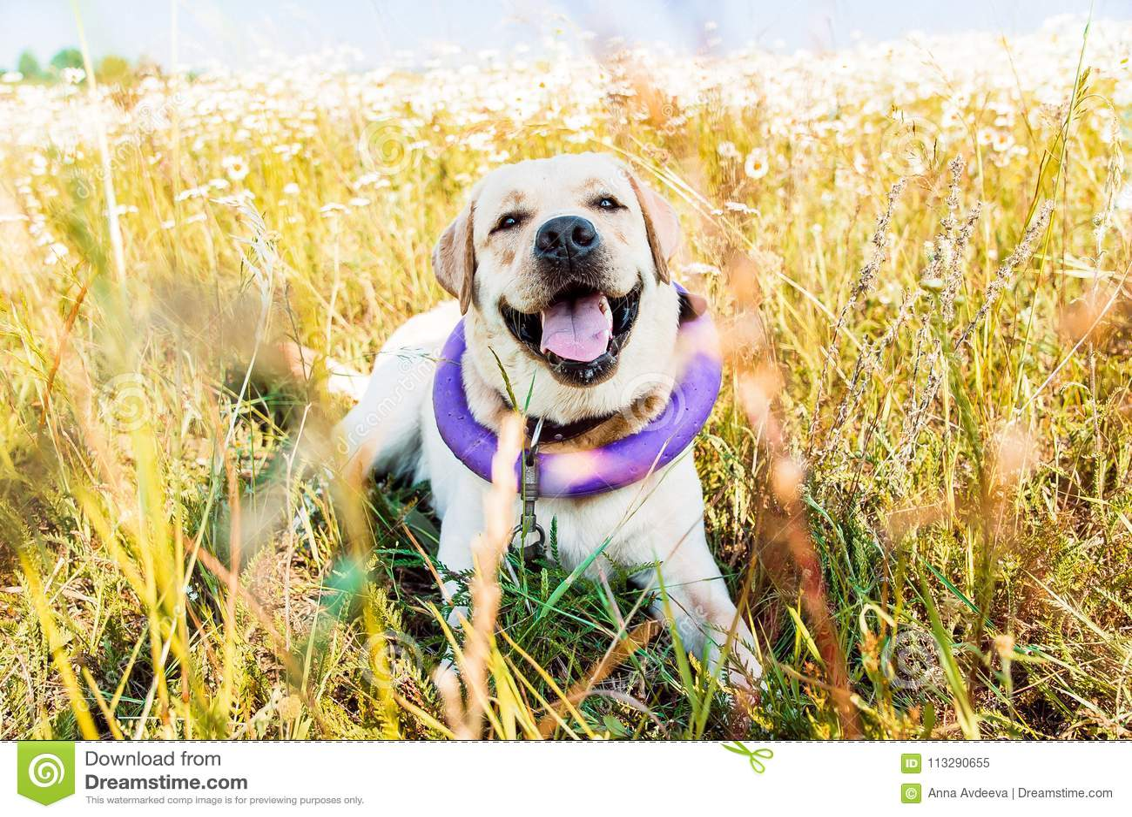 Cão bonito de Labrador que ri e que encontra-se no prado