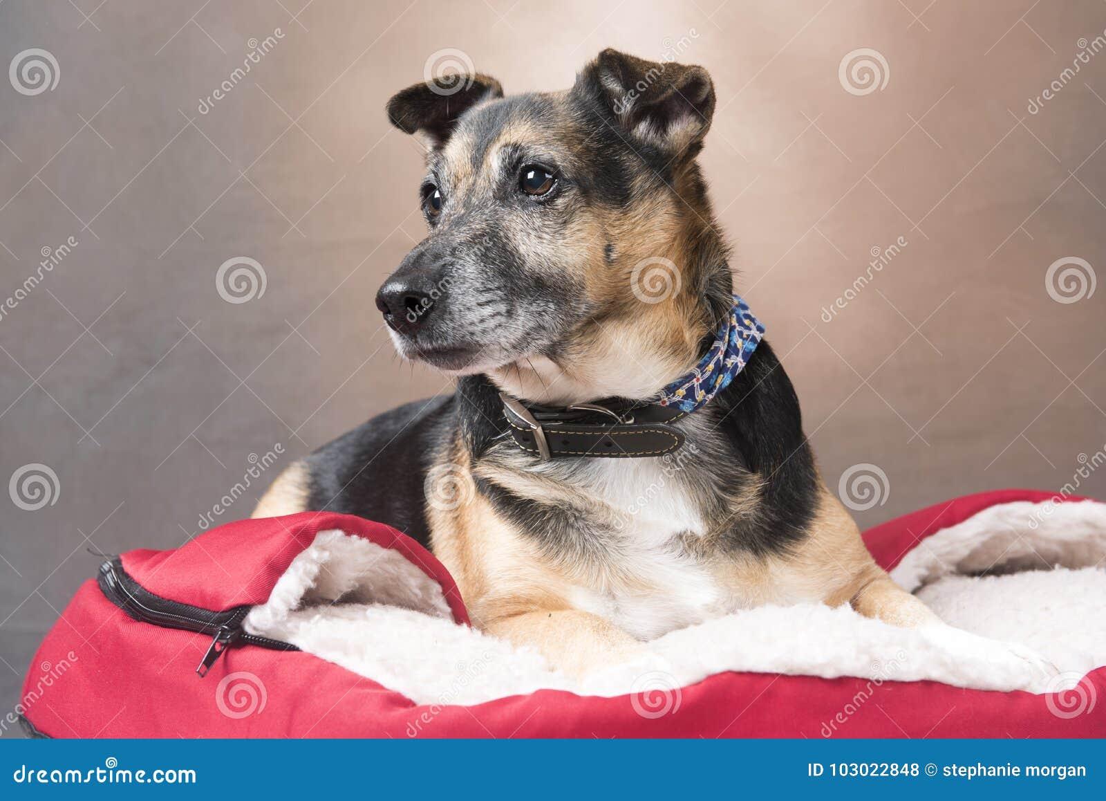 Cão bonito do Corgi que relaxa em uma cama confortável