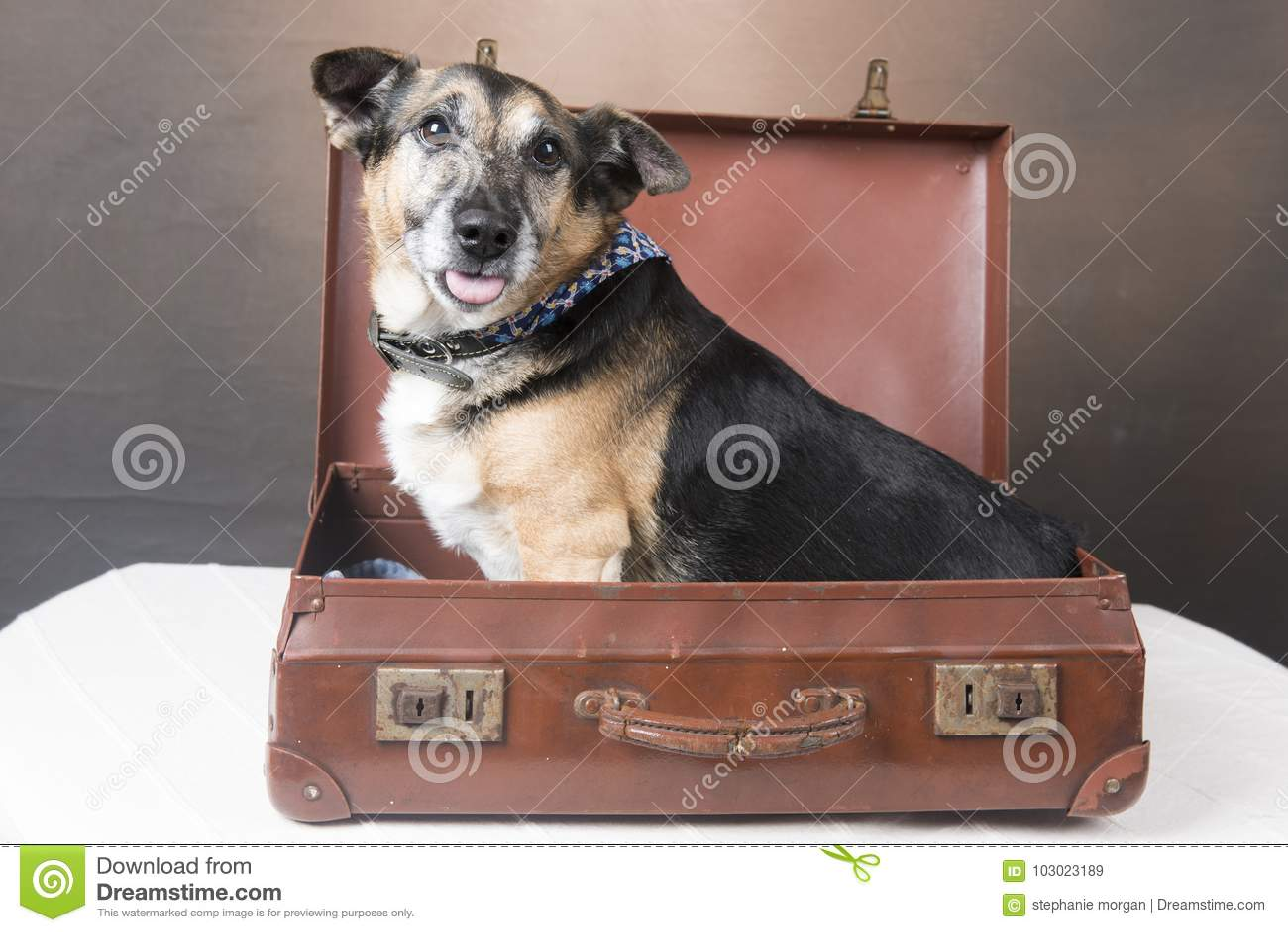 Cão bonito do Corgi que senta-se dentro de uma mala de viagem com sua língua para fora