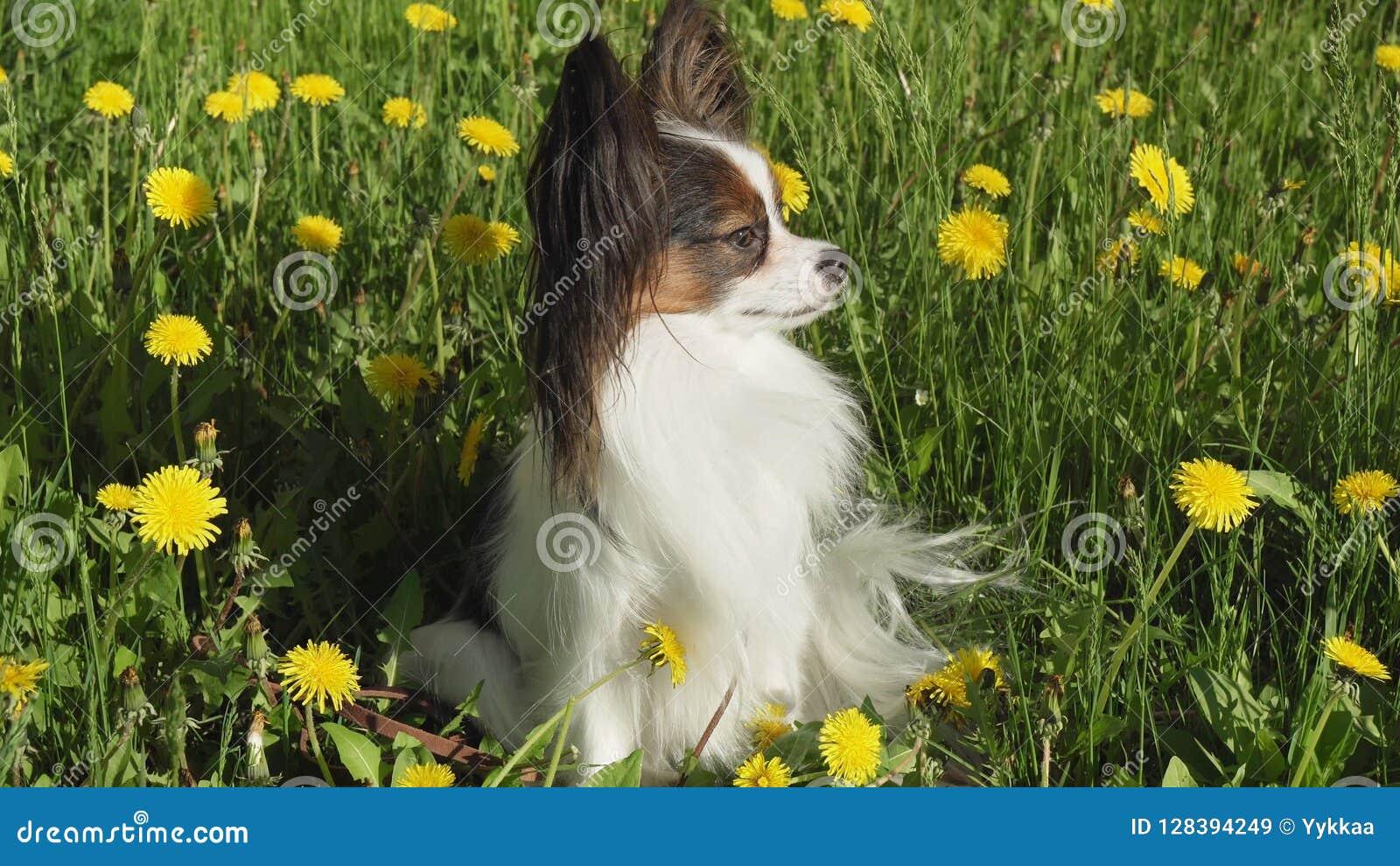Cão bonito Papillon que senta-se no gramado verde com dentes-de-leão