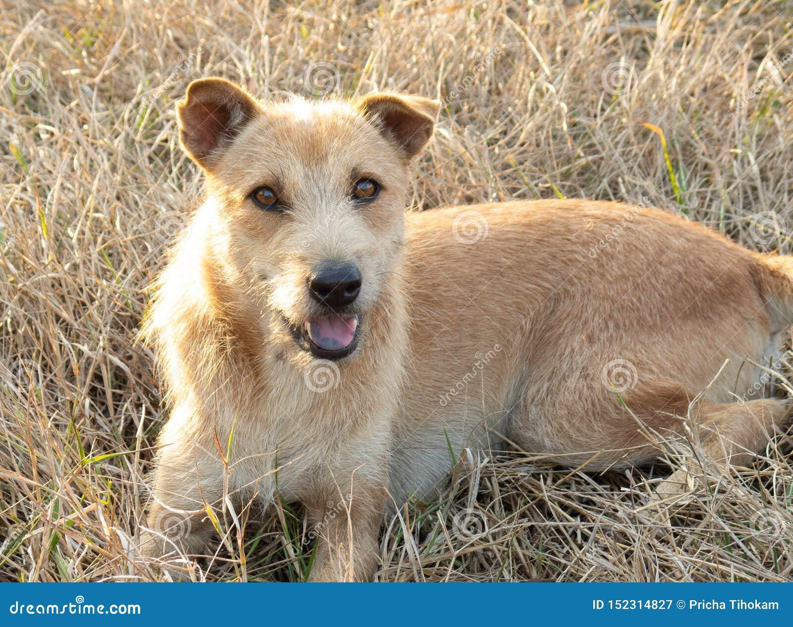 Cão bonito que encontra-se na grama e no olhar na câmera