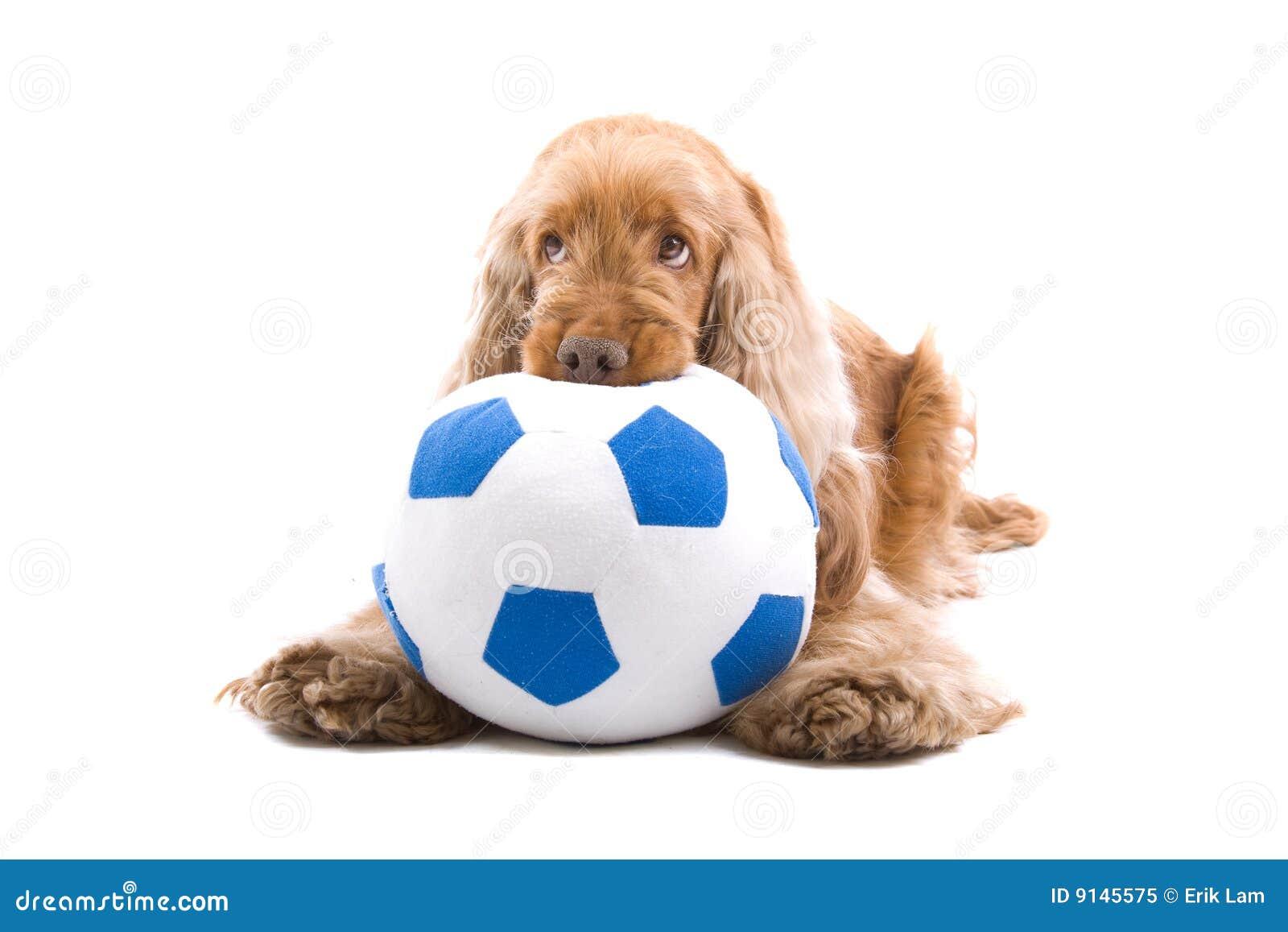 Cão bonito que mastiga a esfera de futebol