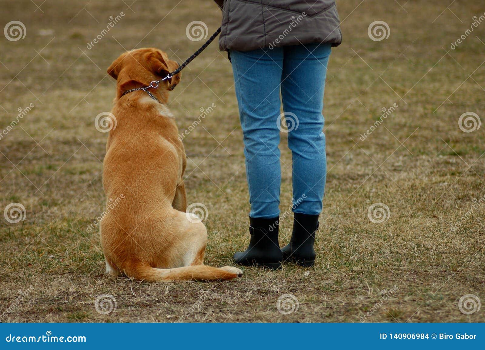 Cão bonito que senta-se ao lado de seu proprietário, aprendendo na cão-escola