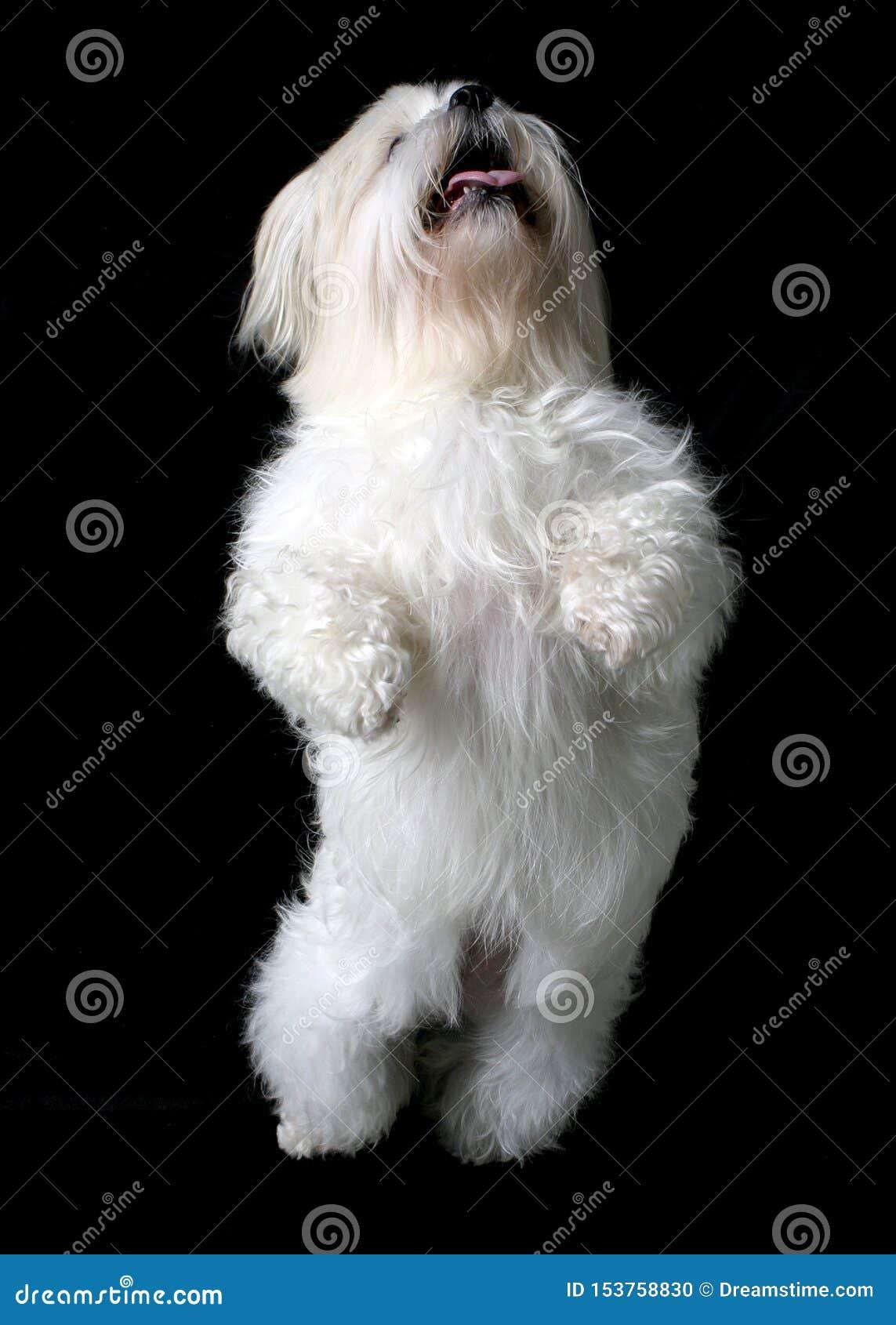 Cão branco de dança