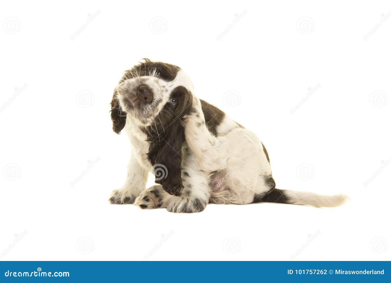 Cão branco e castanho chocolate do assento bonito de cocker spaniel de cachorrinho
