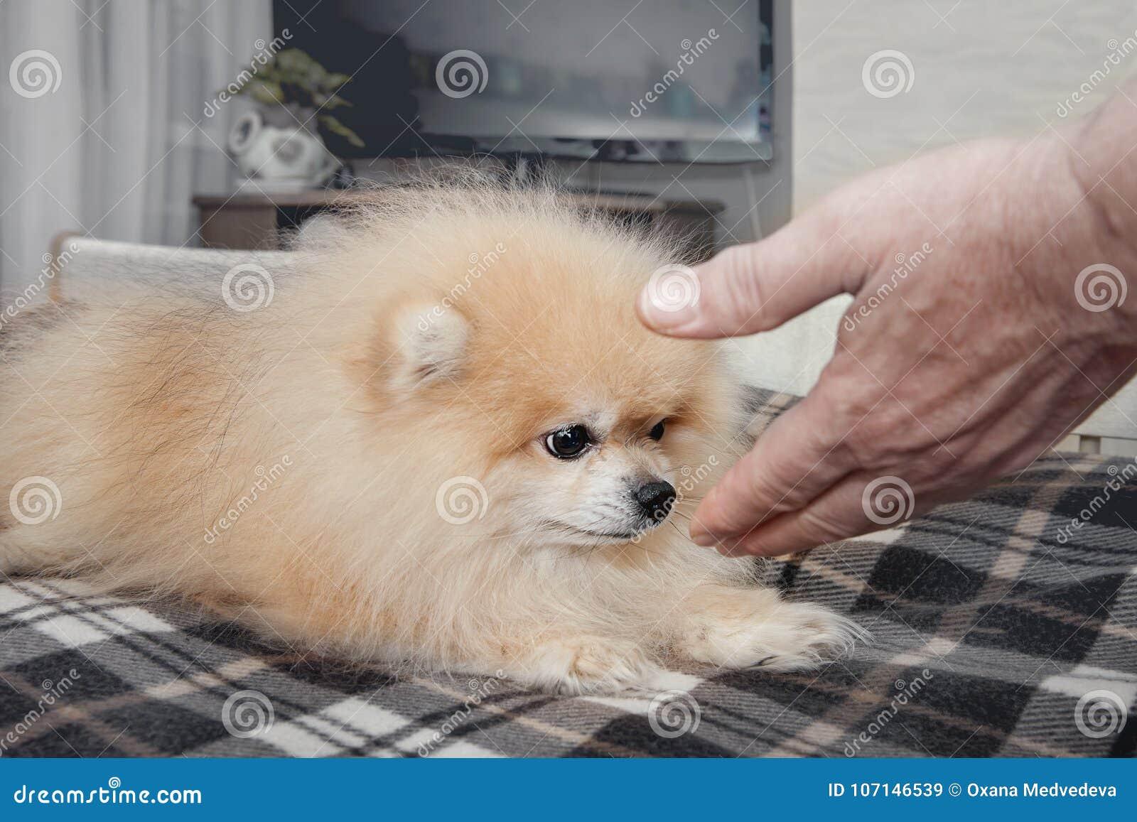 Cão branco pequeno que aspira uma mão que olha os olhos marrons na pessoa que tenta o pet