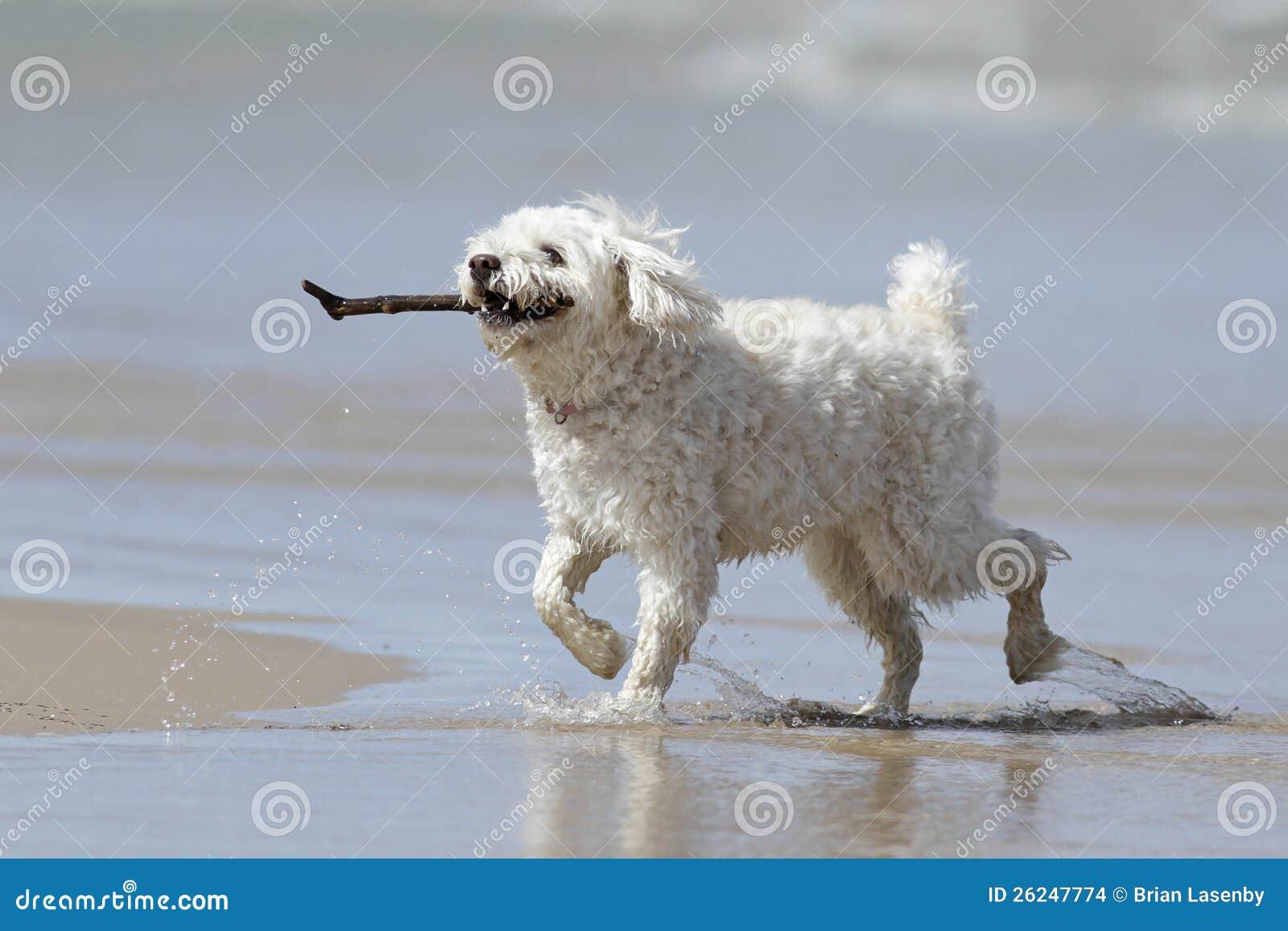 Cão branco pequeno que carreg uma vara na praia