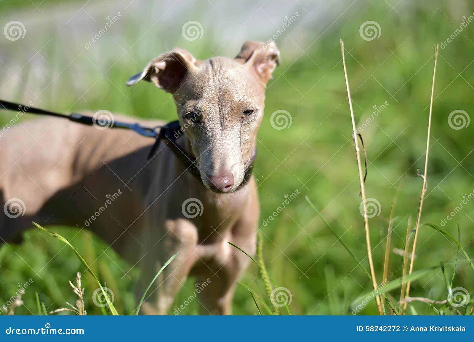 Cão calvo peruano do cachorrinho