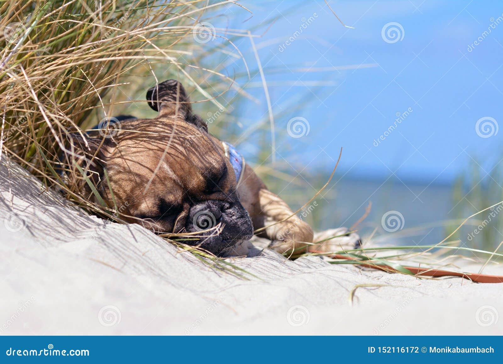 Cão cansado do buldogue francês da jovem corça com máscara preta que dorme em uma praia da areia em férias