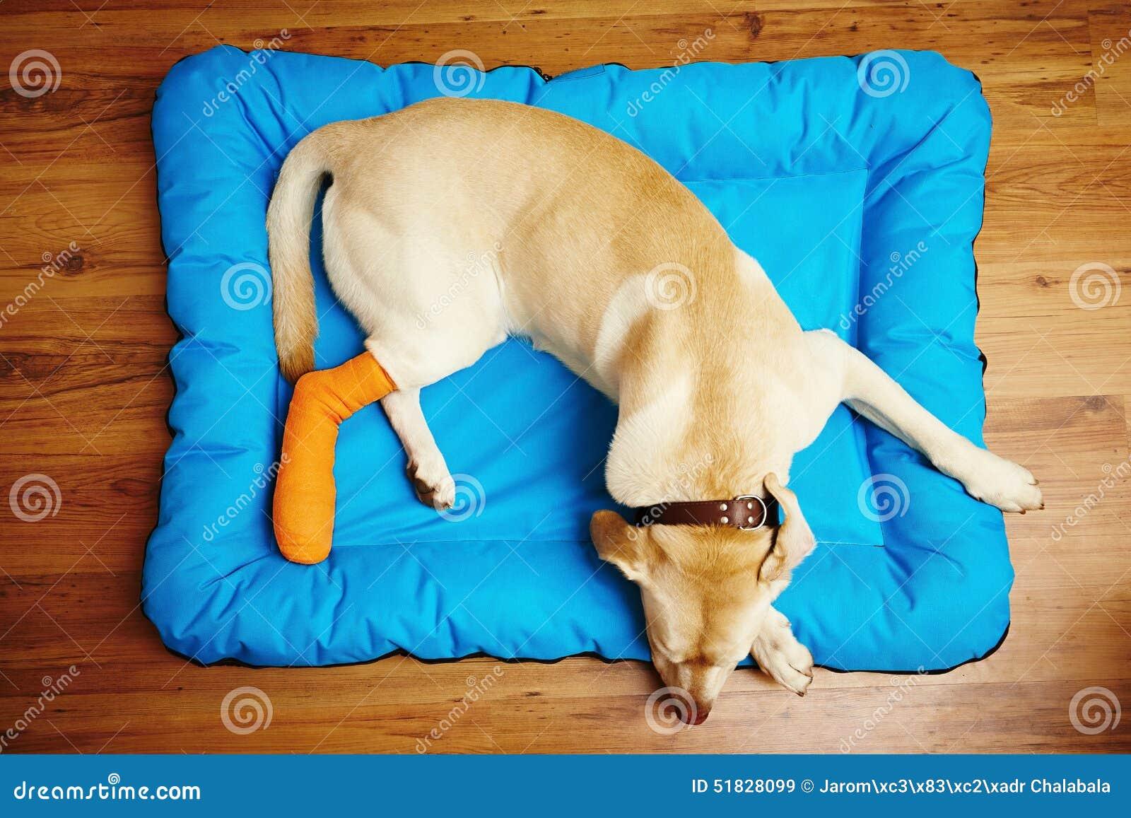 Cão com pé quebrado