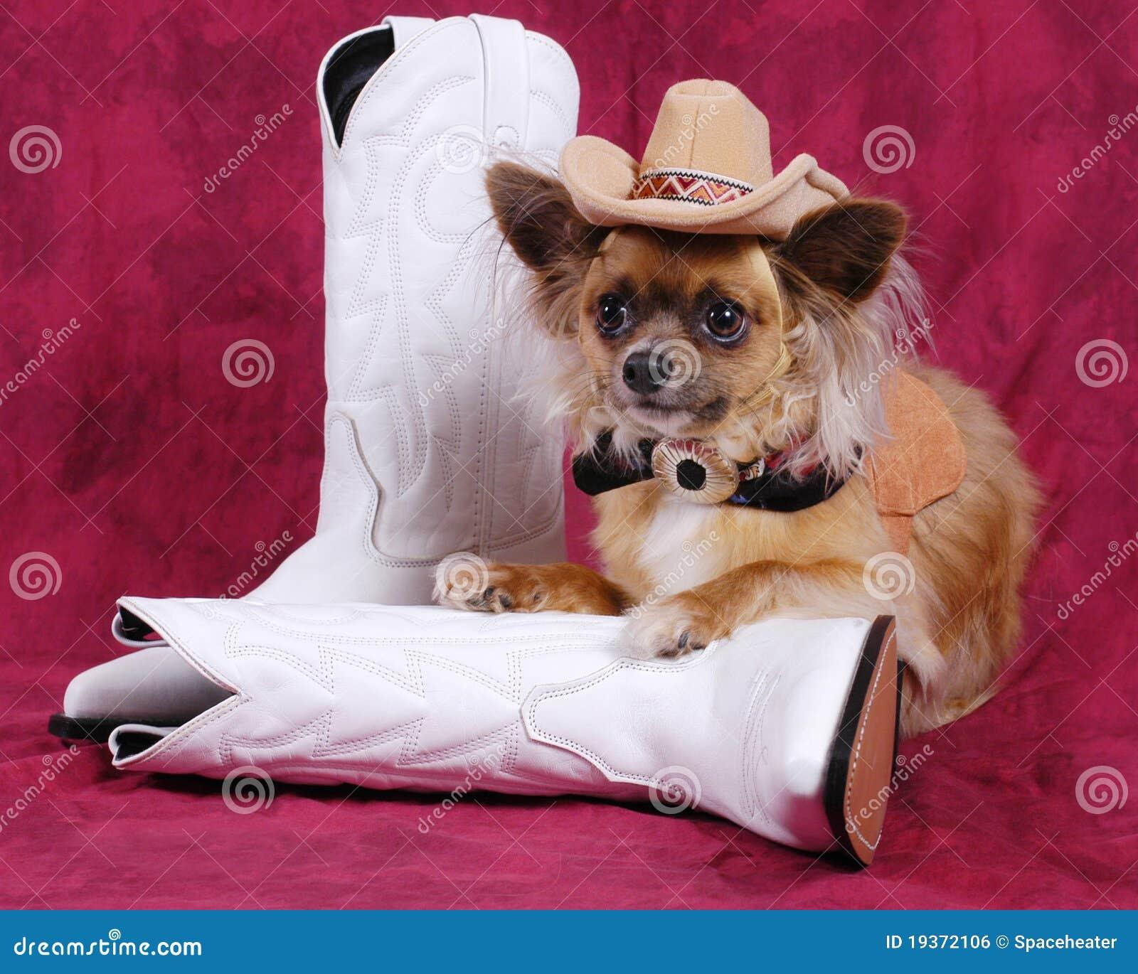 Cão da chihuahua com chapéu & carregadores de cowboy
