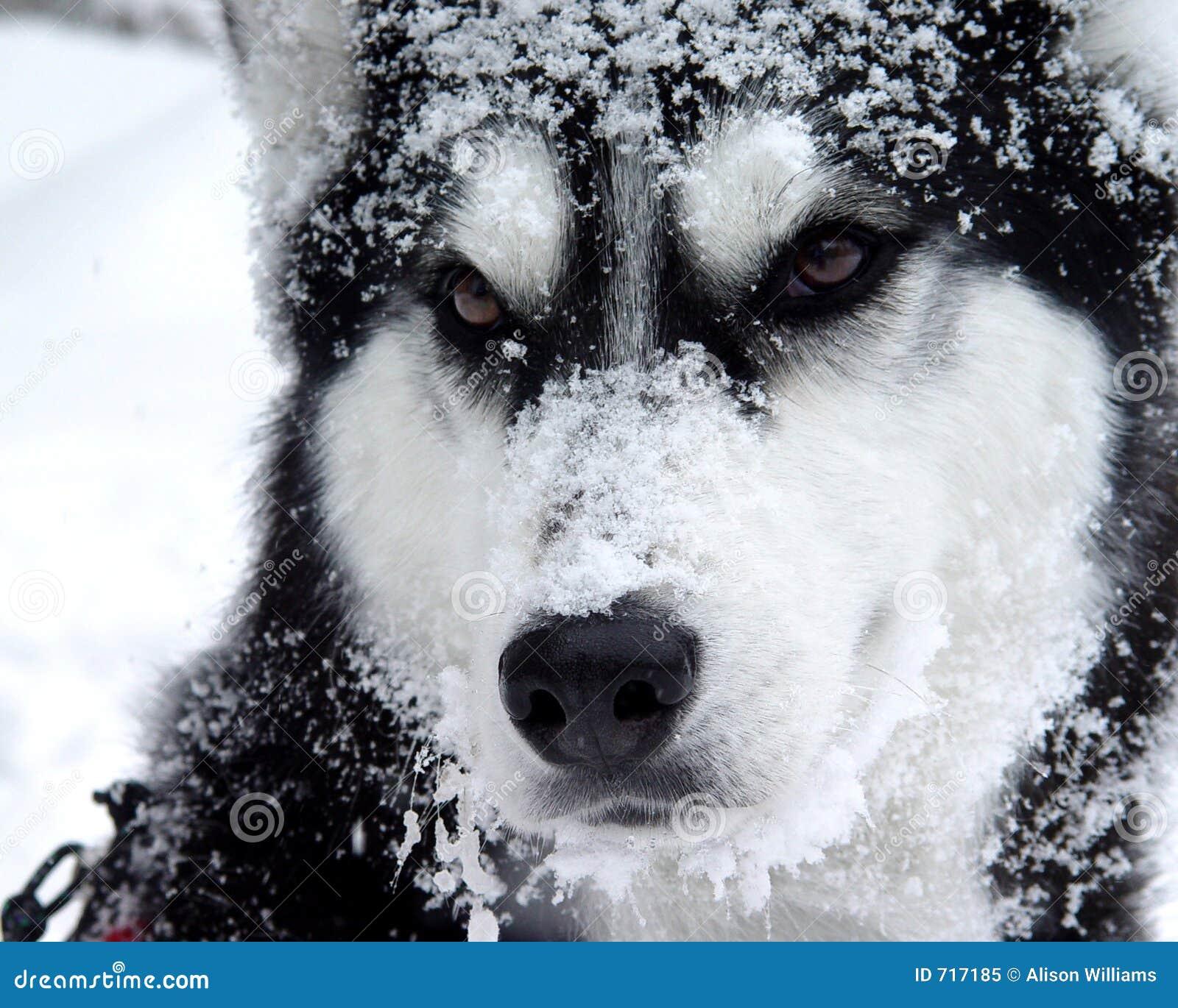 Cão da neve