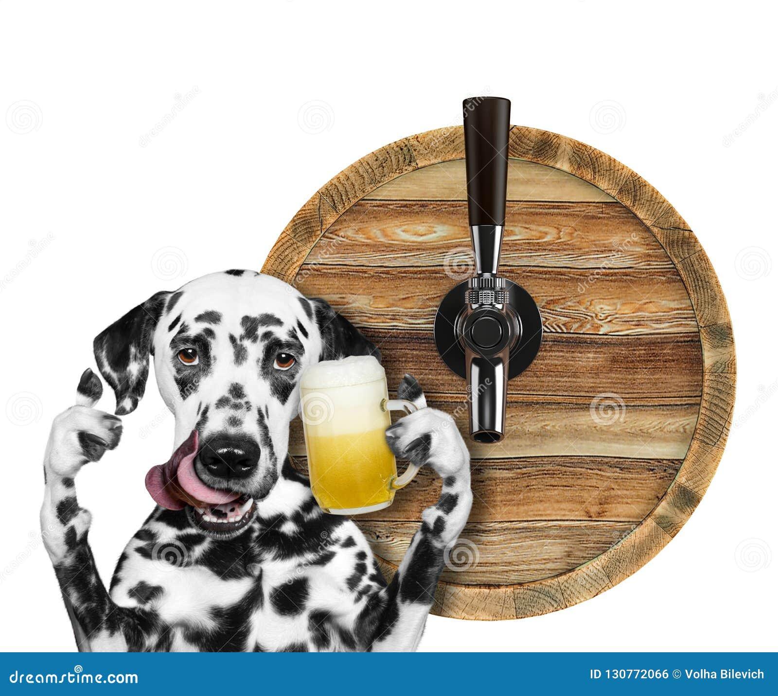 Cão dalmatian bonito com um vidro da cerveja e do tambor Isolado no branco