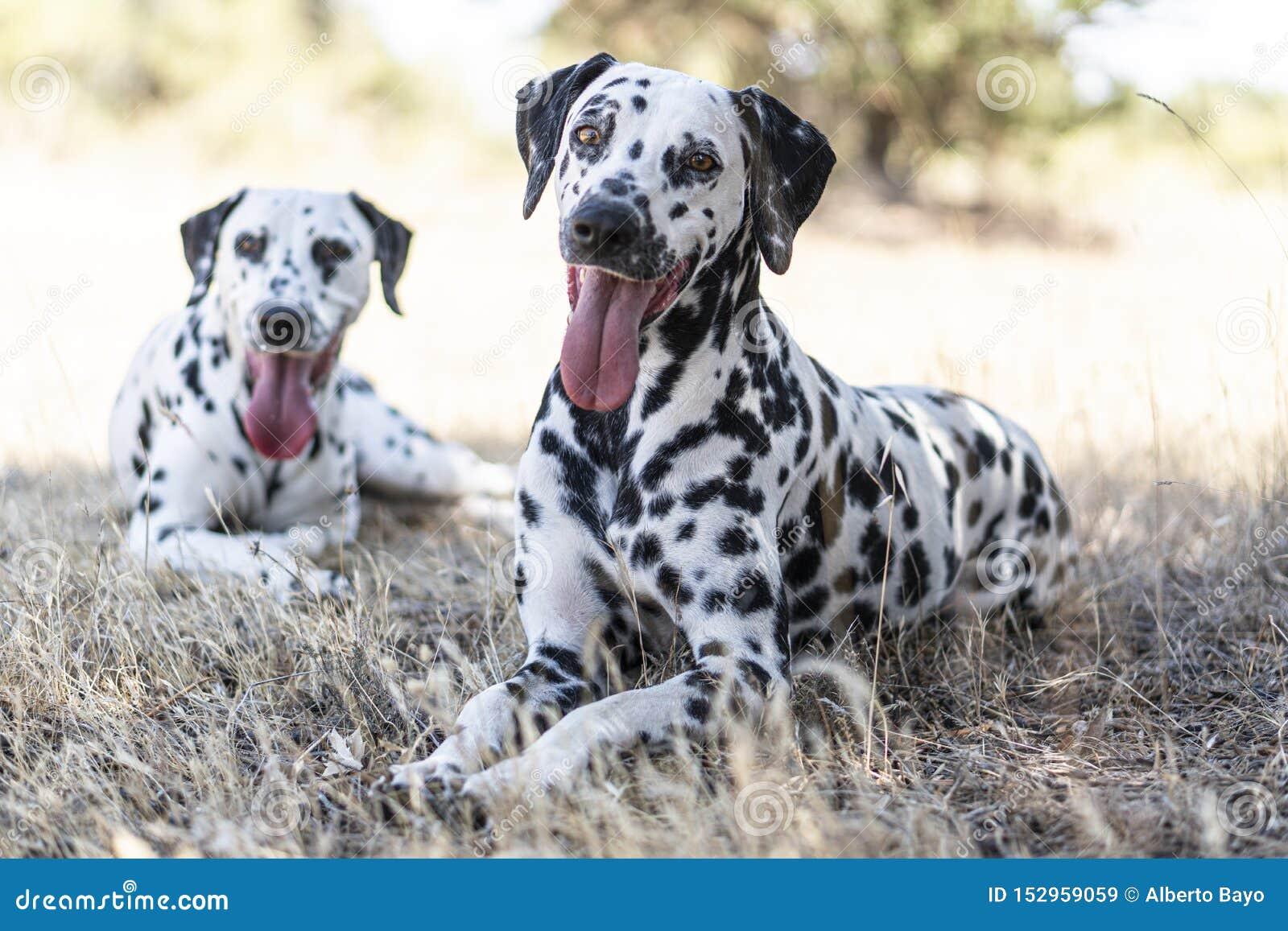 Cão Dalmatian no campo feliz