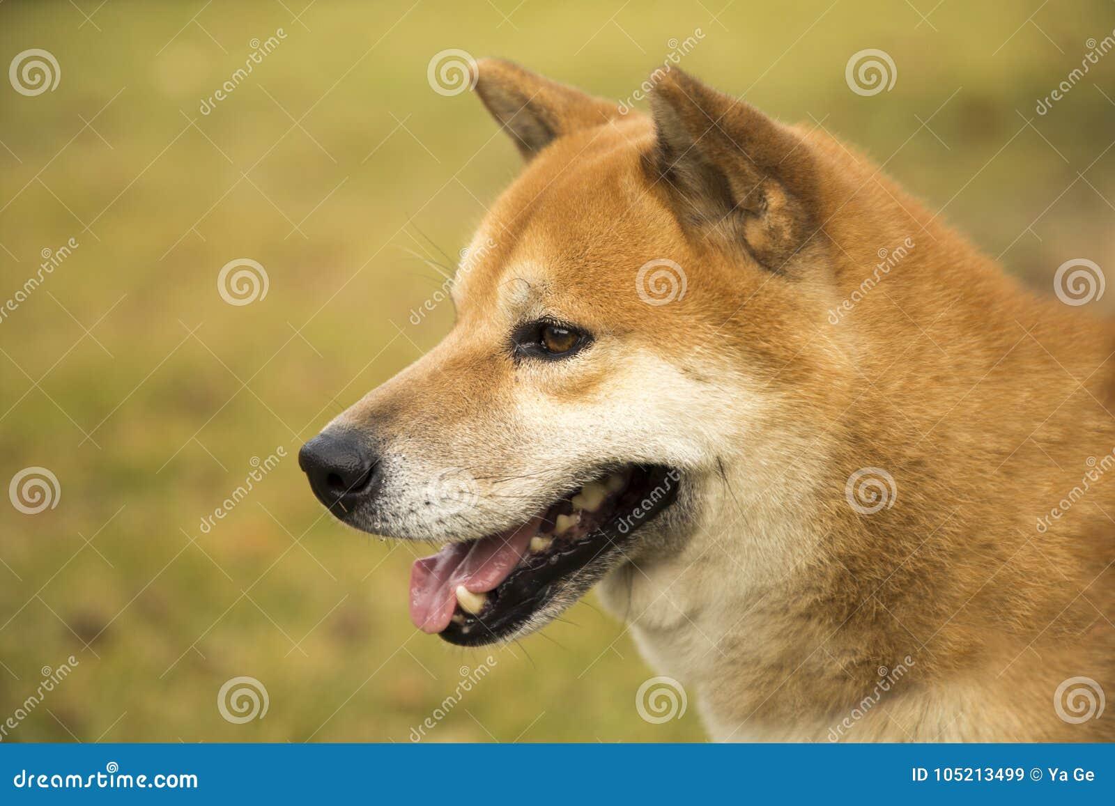 Cão de Akita